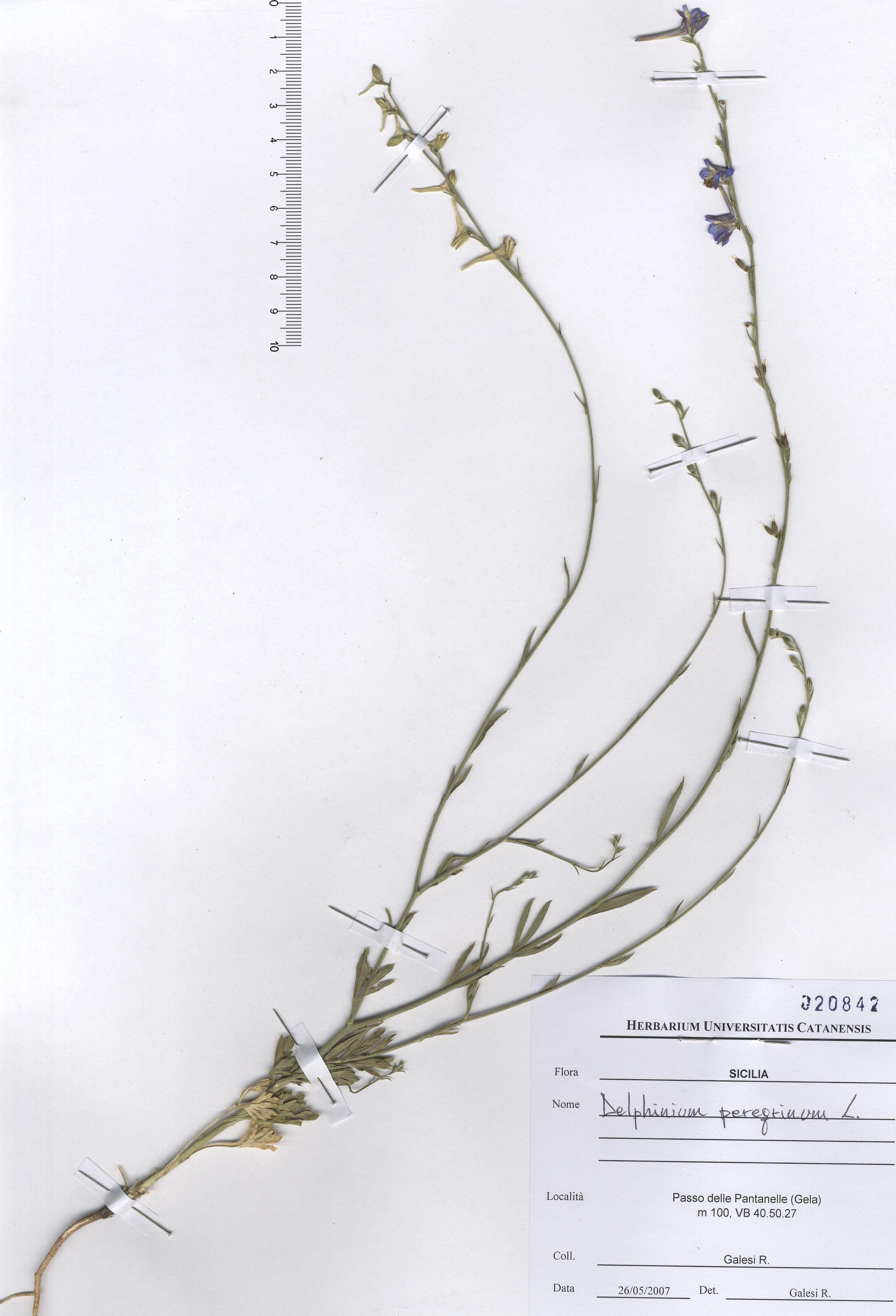 © Hortus Botanicus Catinensis - Herb. sheet 020842<br>