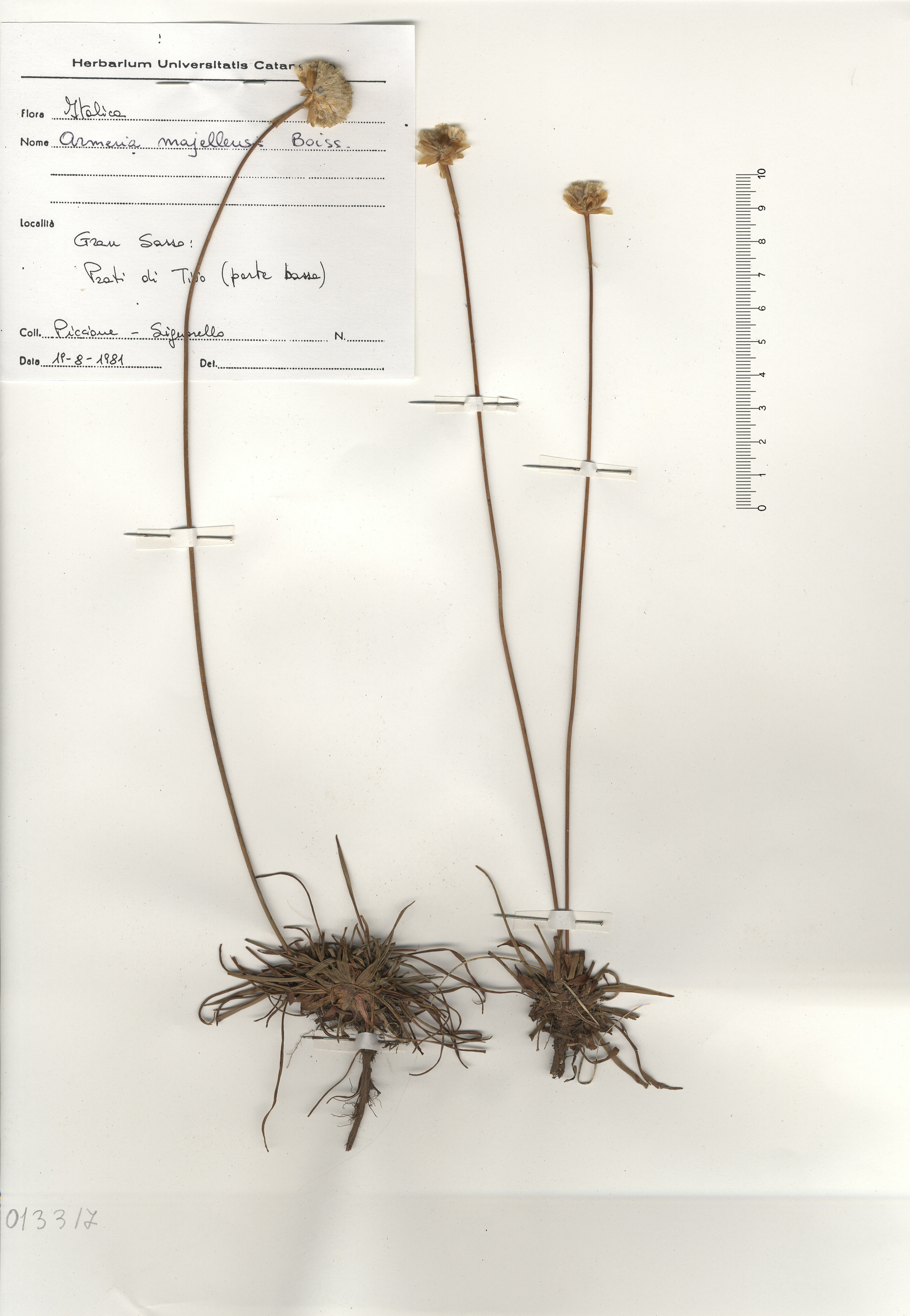 © Hortus Botanicus Catinensis - Herb. sheet 013317<br>