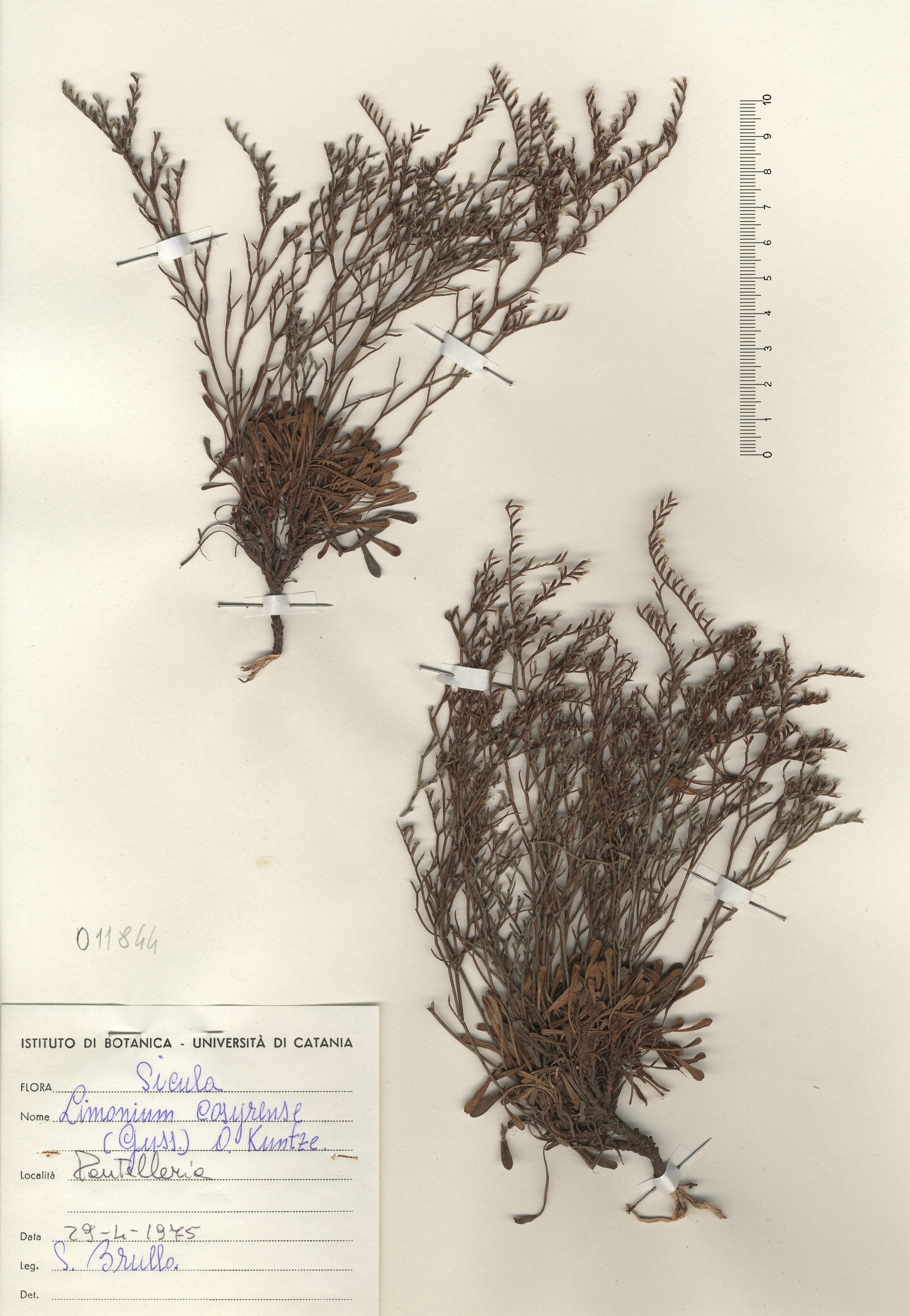 © Hortus Botanicus Catinensis - Herb. sheet 011844<br>