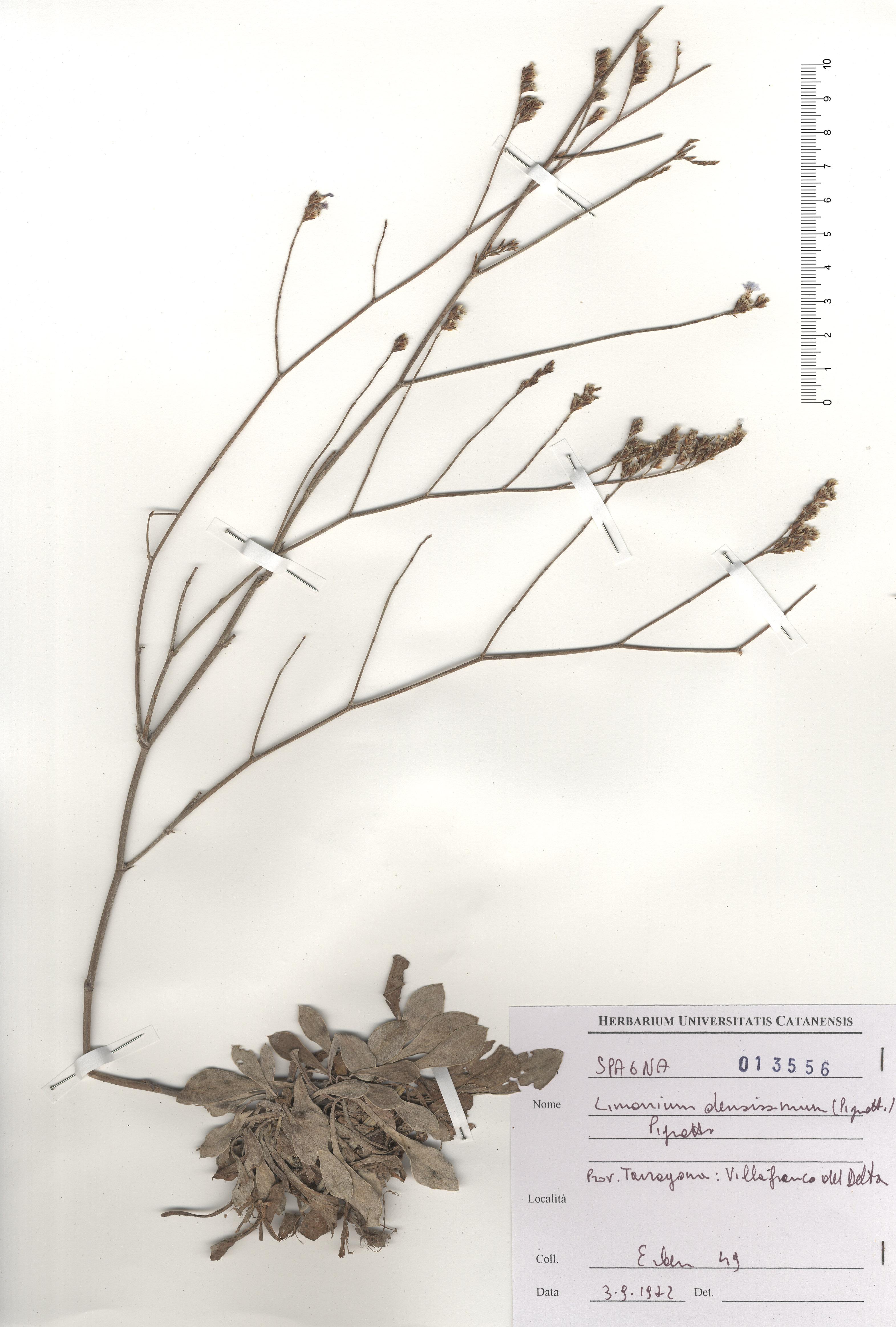 &copy; Hortus Botanicus Catinensis - Herb. sheet 013556<br>