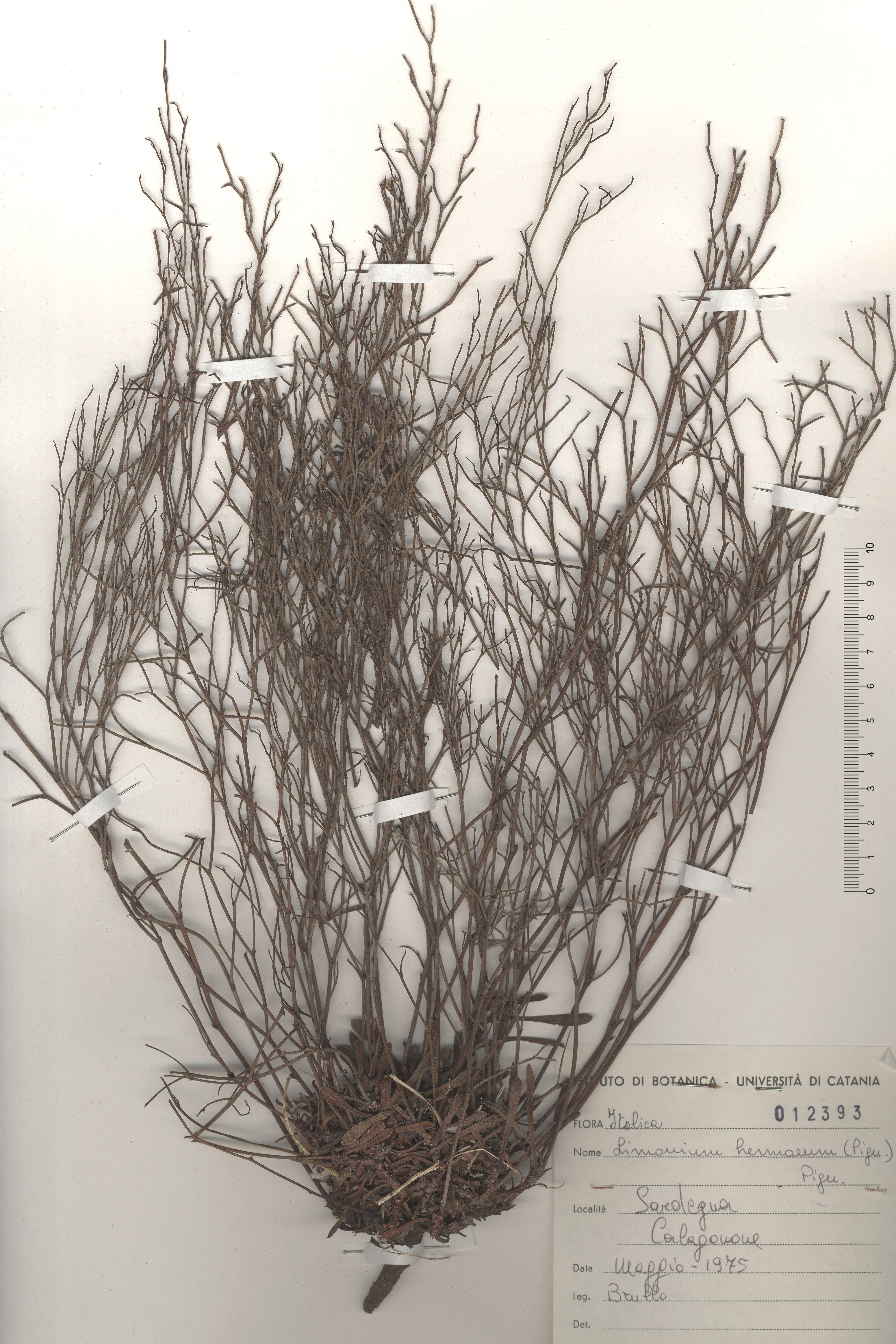 © Hortus Botanicus Catinensis - Herb. sheet 012393<br>