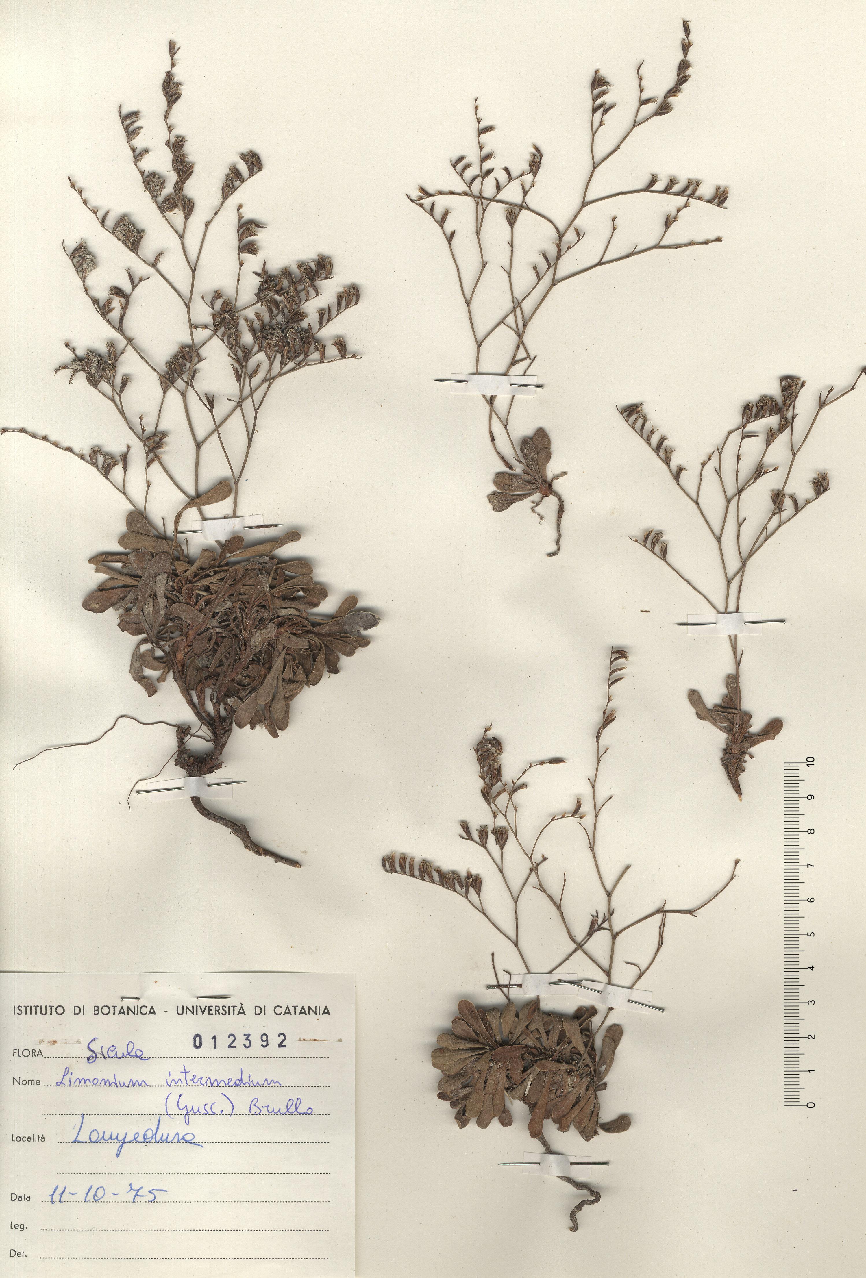 © Hortus Botanicus Catinensis - Herb. sheet 012392<br>