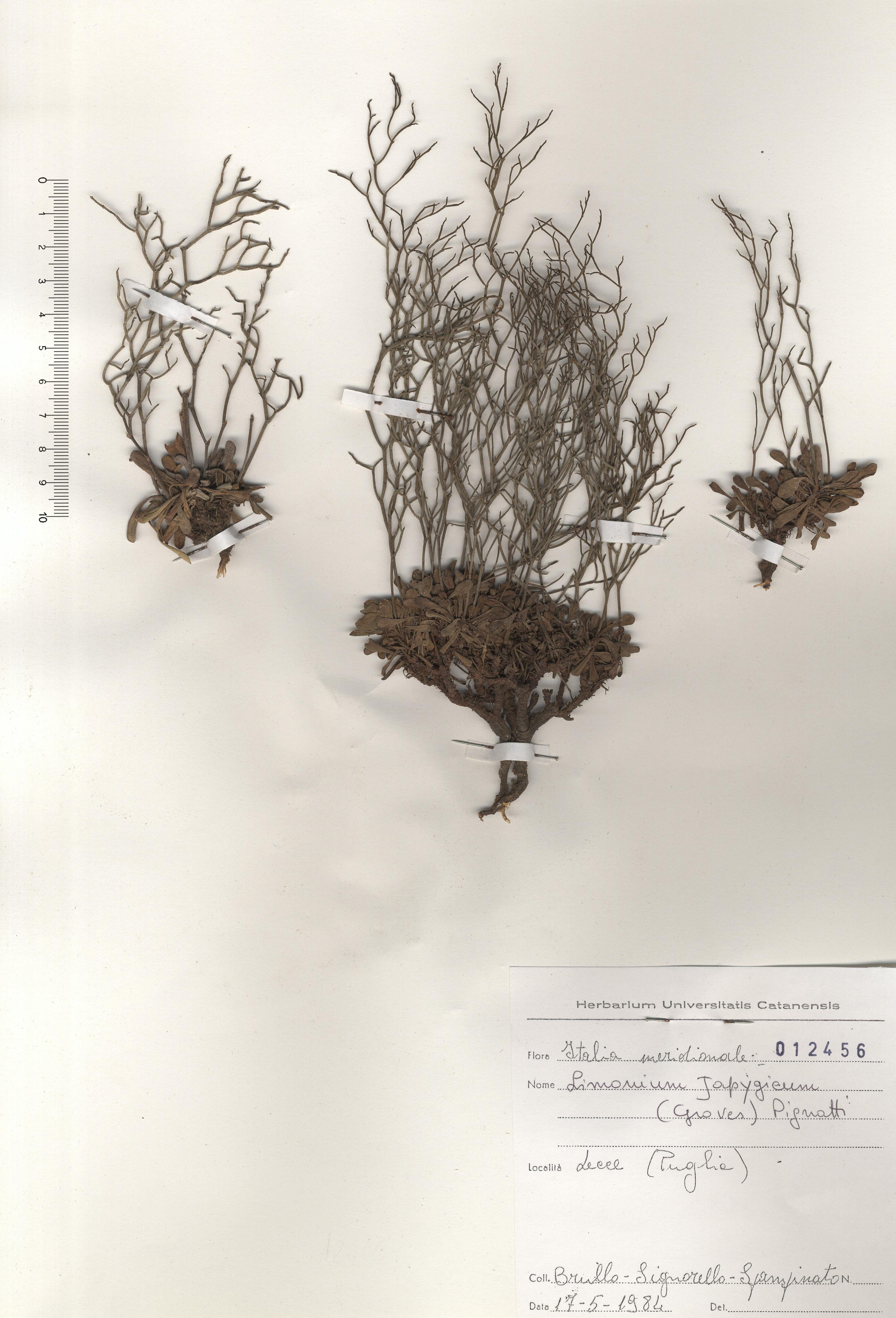 © Hortus Botanicus Catinensis - Herb. sheet 012456<br>