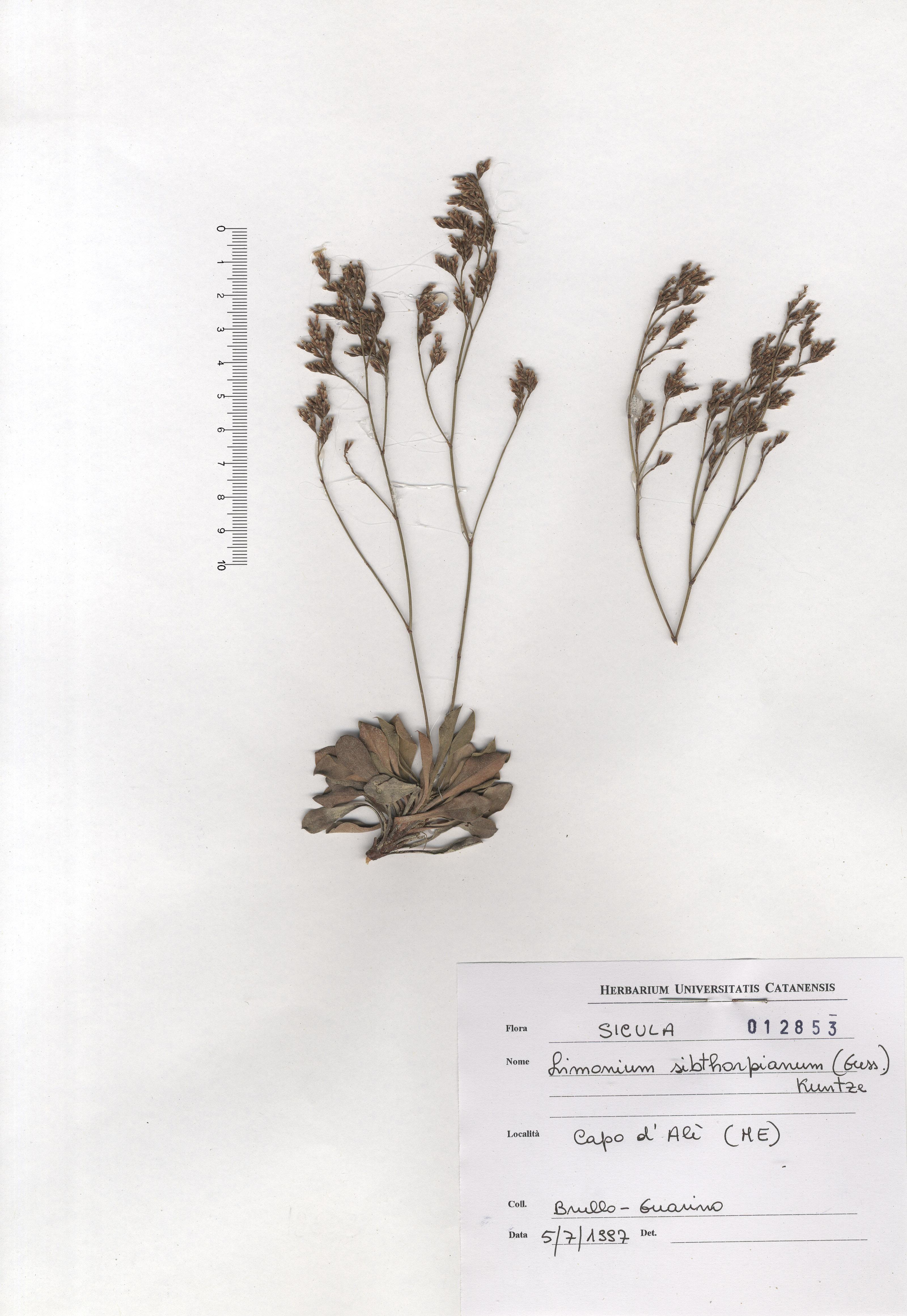 © Hortus Botanicus Catinensis - Herb. sheet 012853<br>