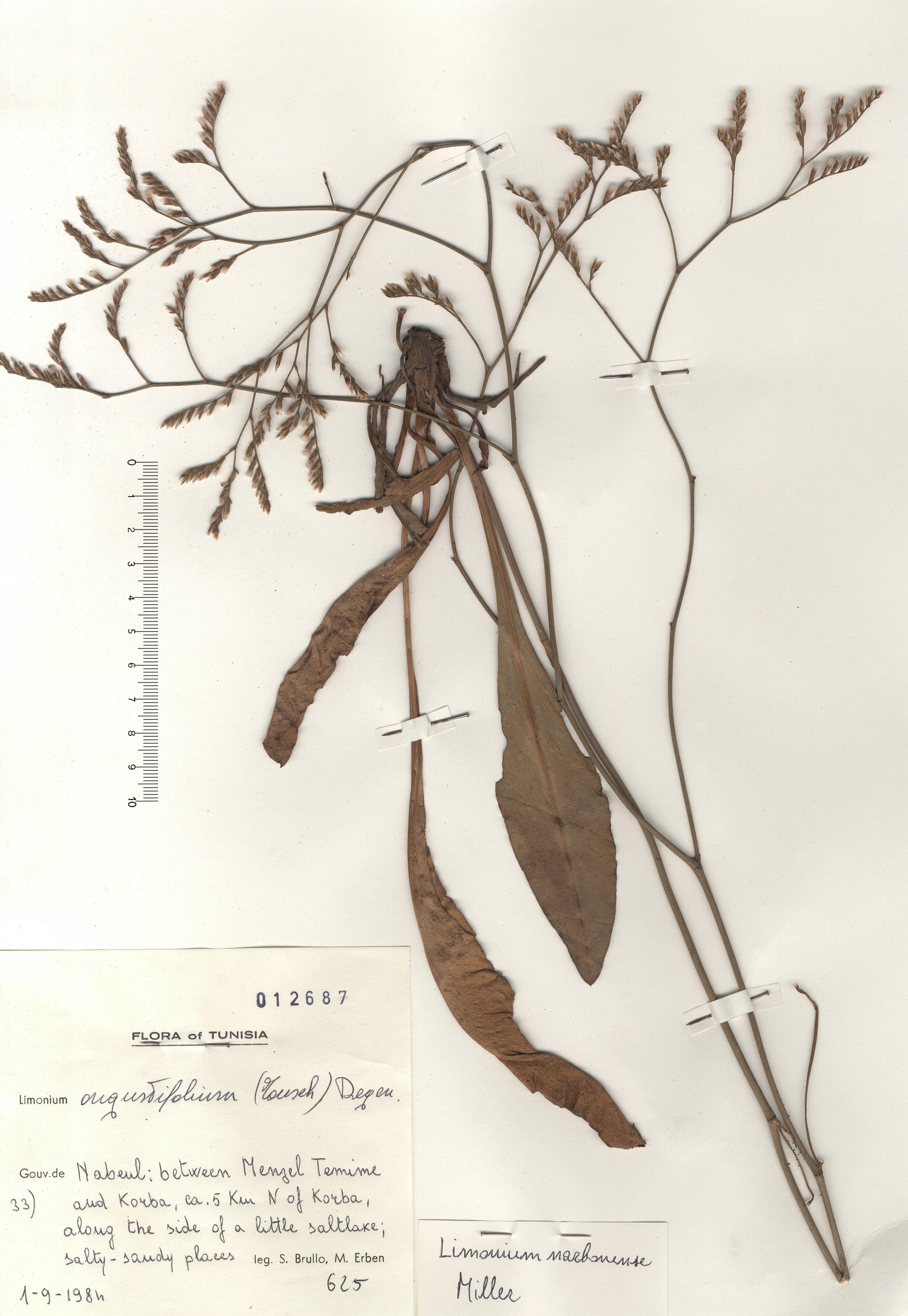 © Hortus Botanicus Catinensis - Herb. sheet 012687<br>