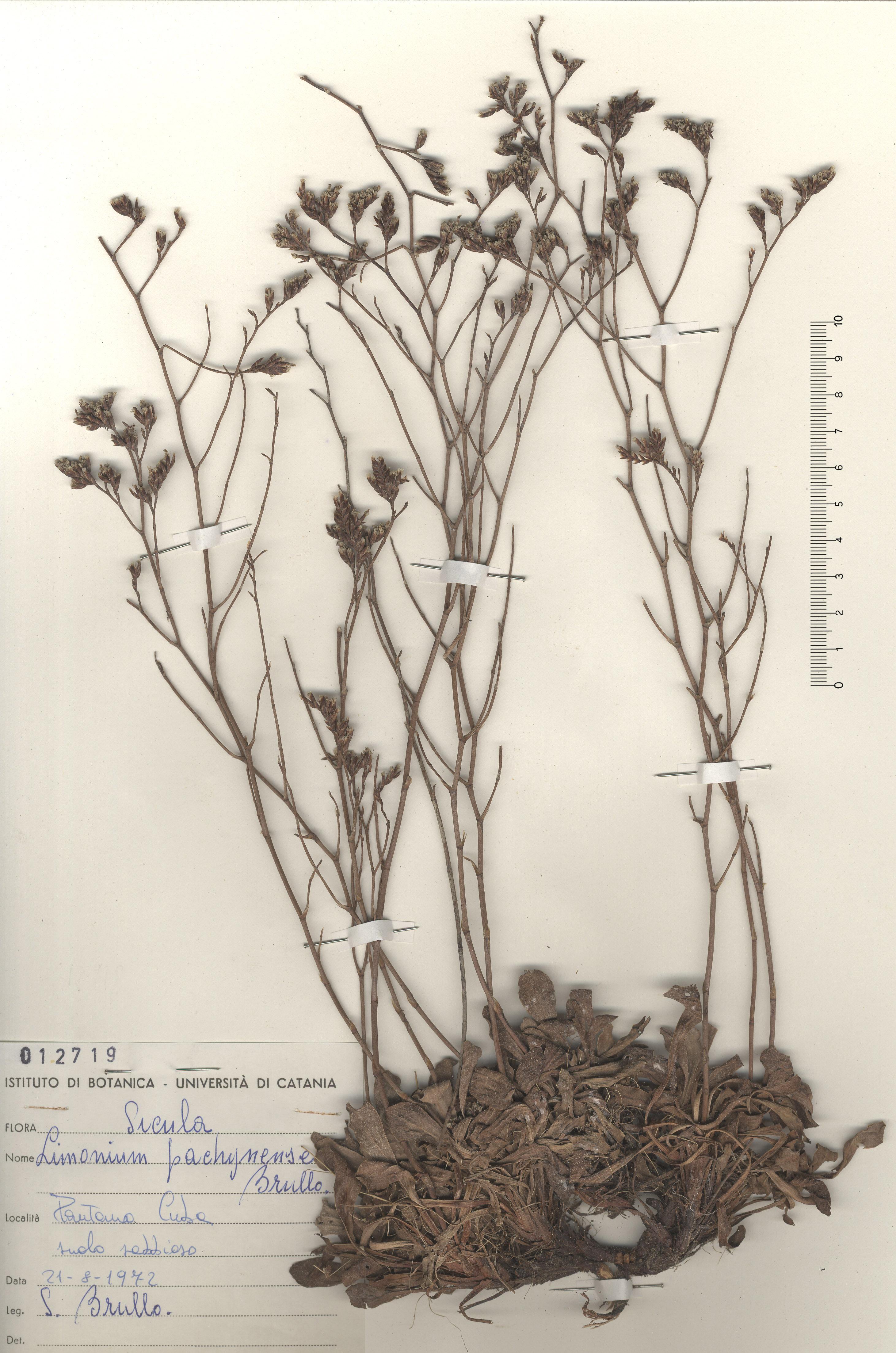 © Hortus Botanicus Catinensis - Herb. sheet 012719<br>