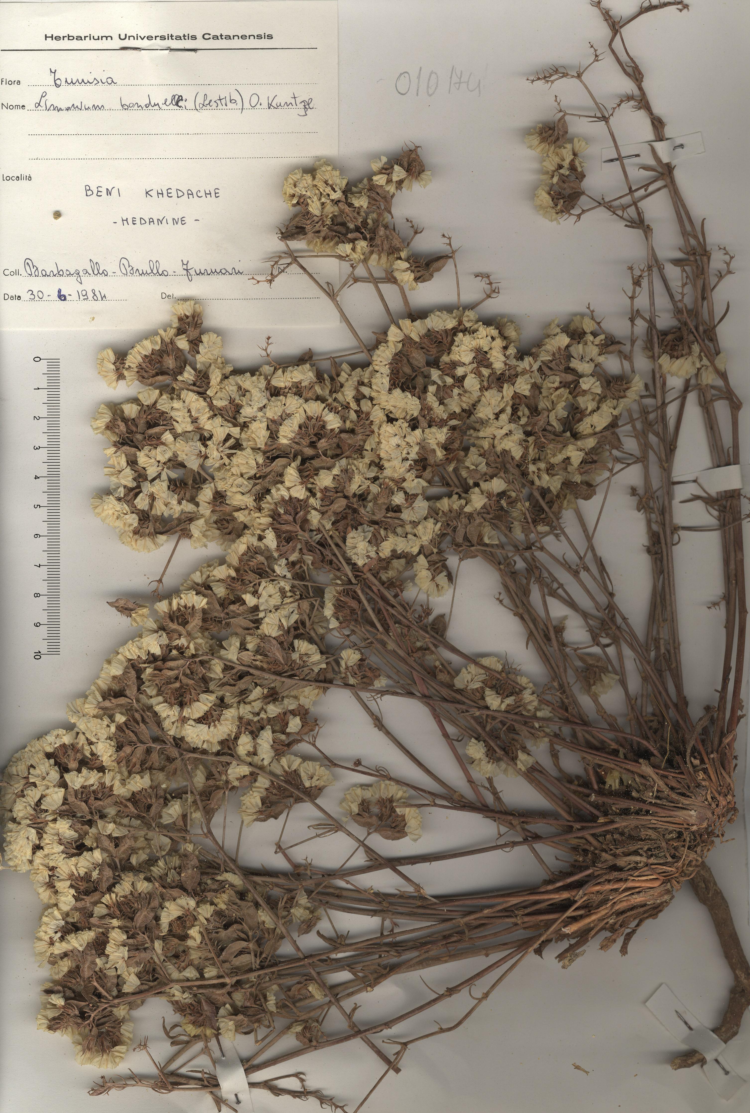 © Hortus Botanicus Catinensis - Herb. sheet 010174<br>