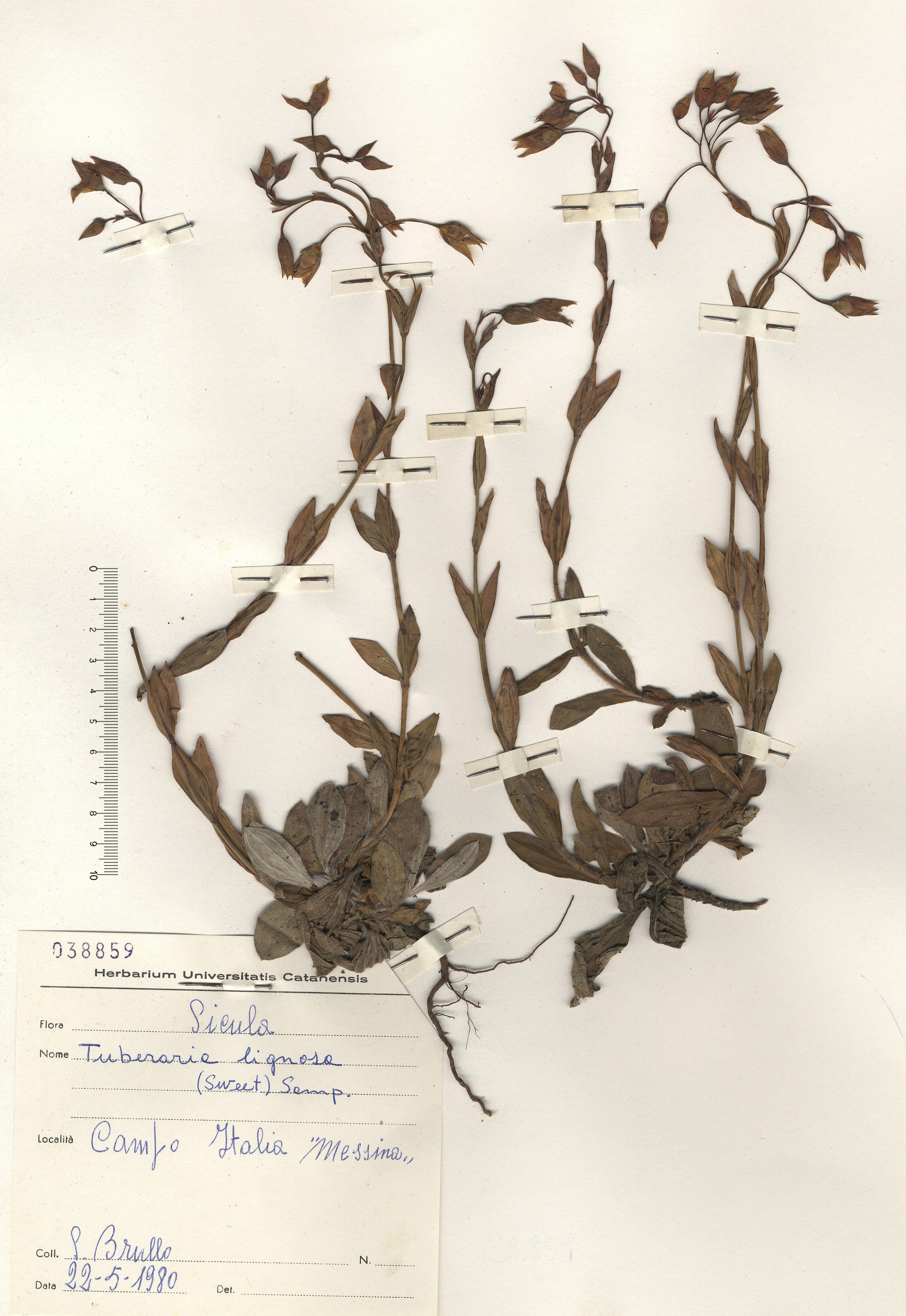 © Hortus Botanicus Catinensis - Herb. sheet 038859<br>