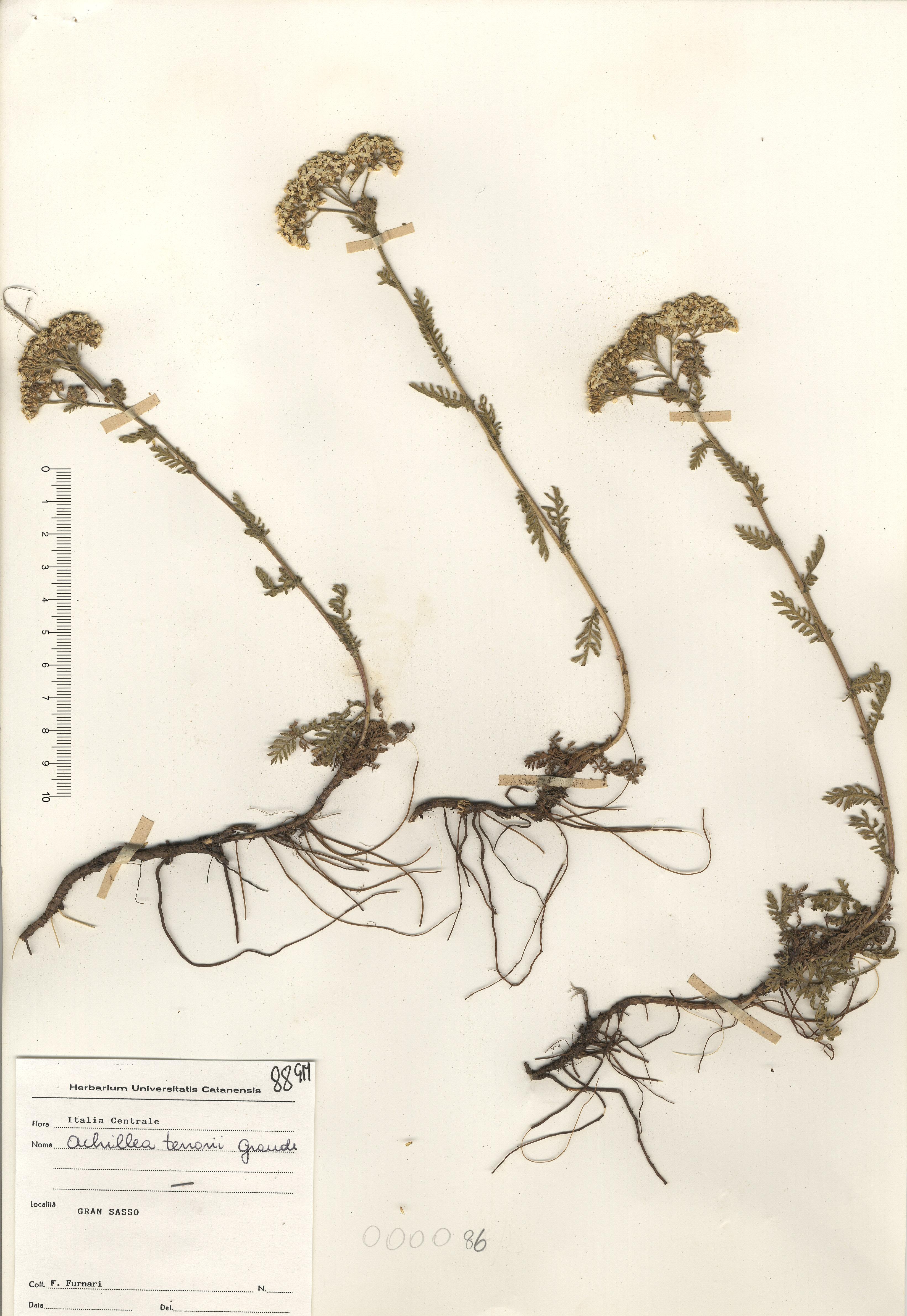 © Hortus Botanicus Catinensis - Herb. sheet 000086<br>
