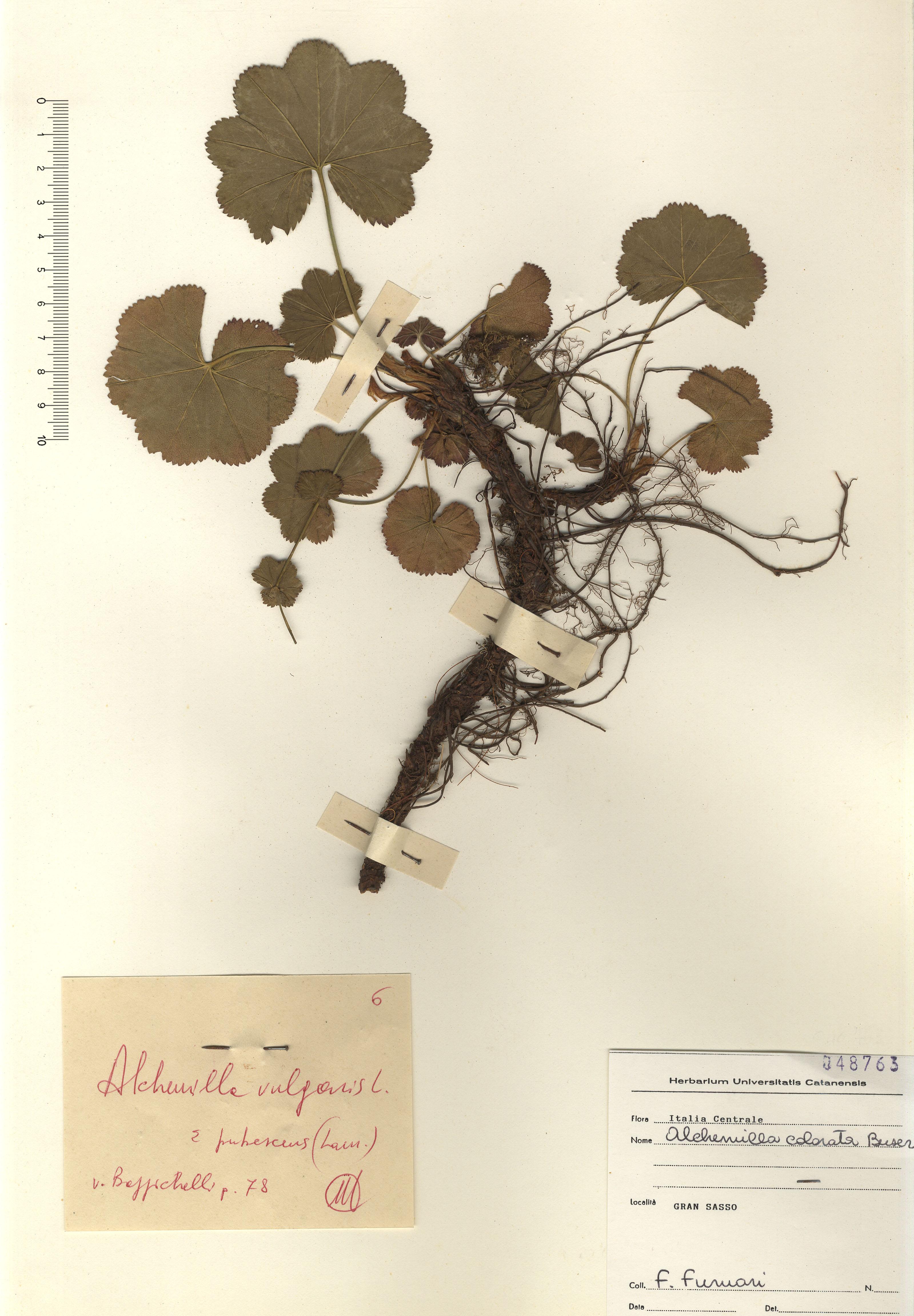 © Hortus Botanicus Catinensis - Herb. sheet 048763<br>