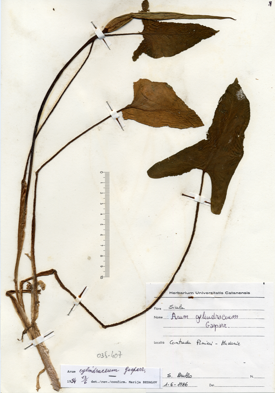 © Hortus Botanicus Catinensis - Herb. sheet 035407<br>