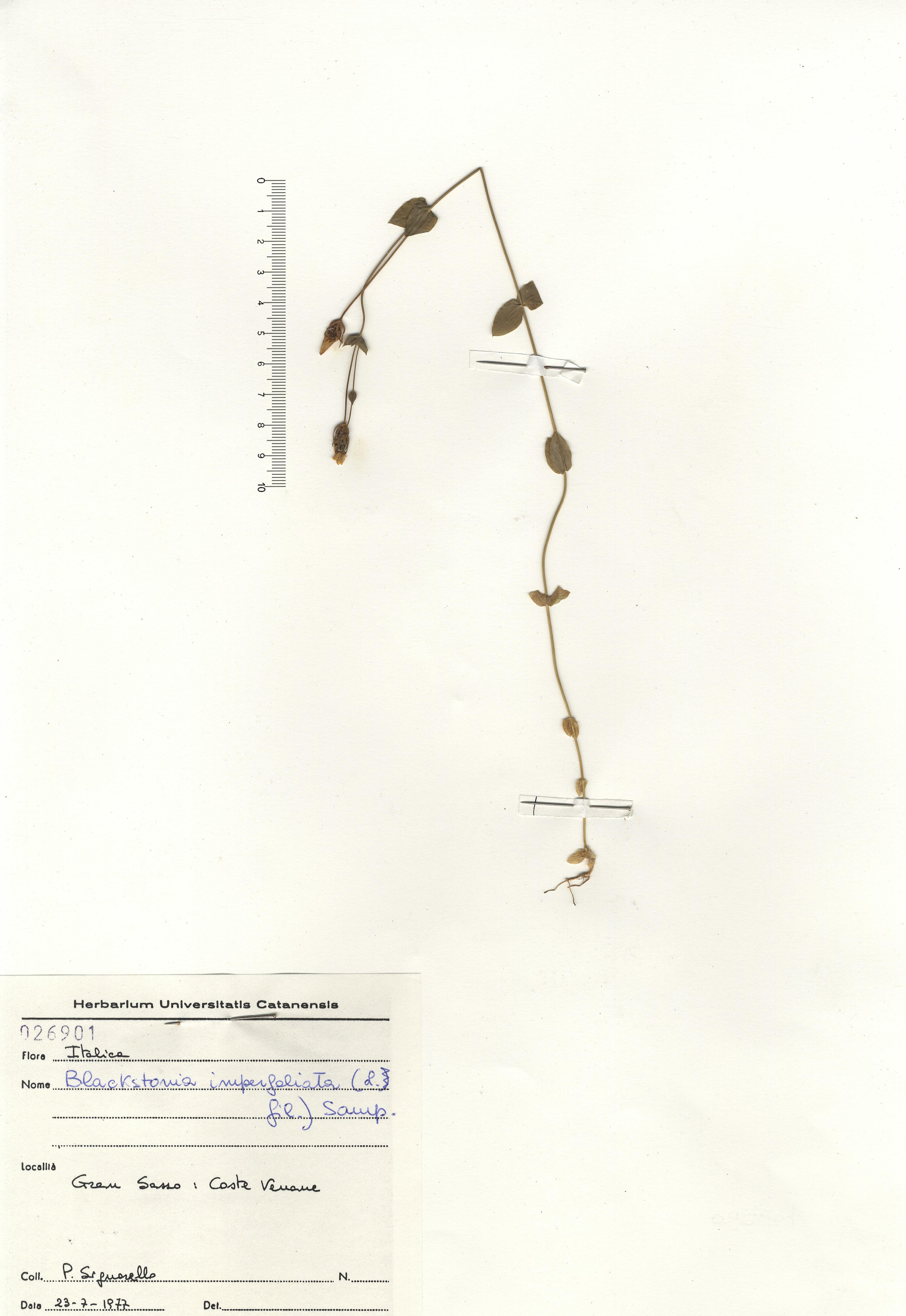 &copy; Hortus Botanicus Catinensis - Herb. sheet 026901<br>