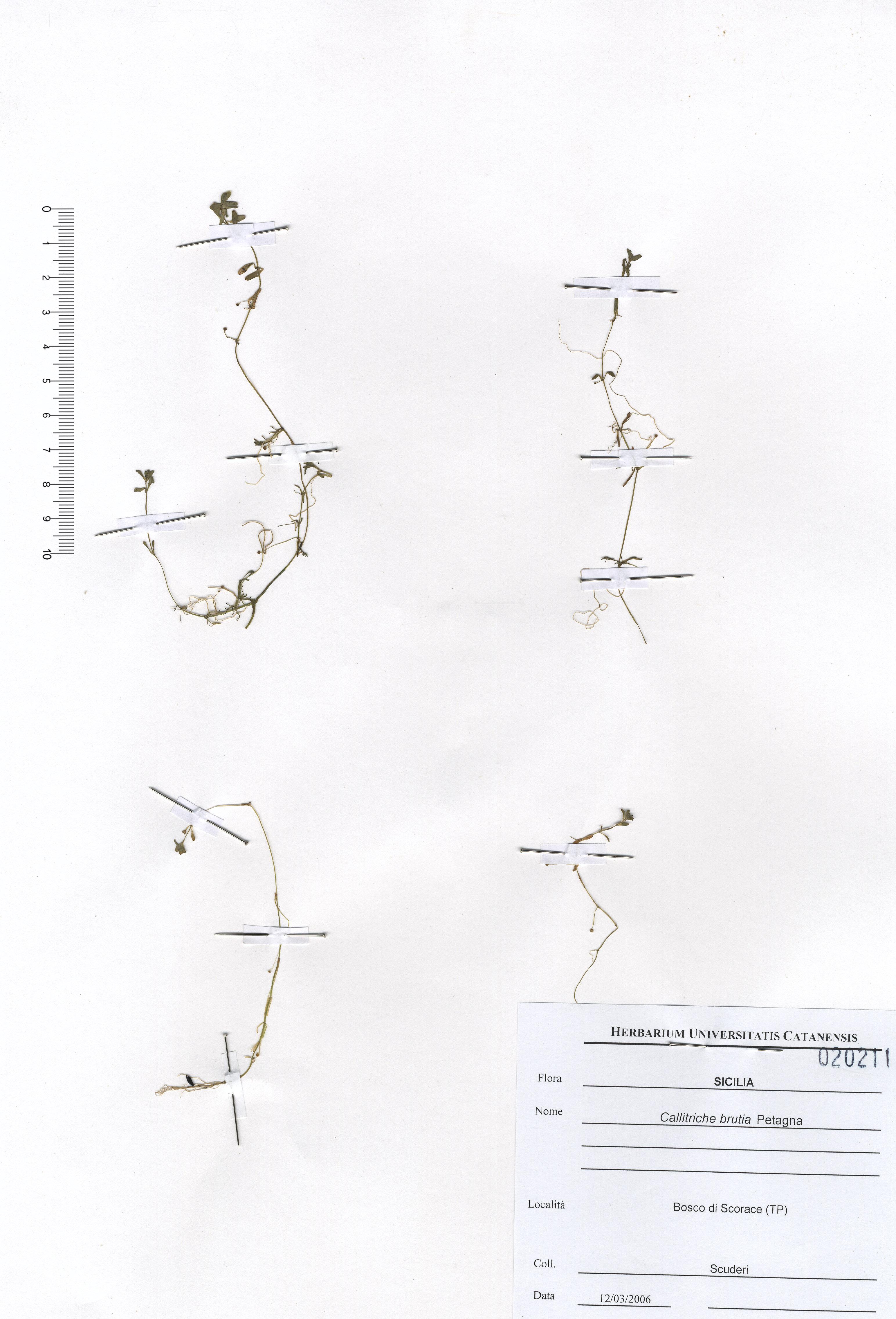 &copy; Hortus Botanicus Catinensis - Herb. sheet 020211<br>