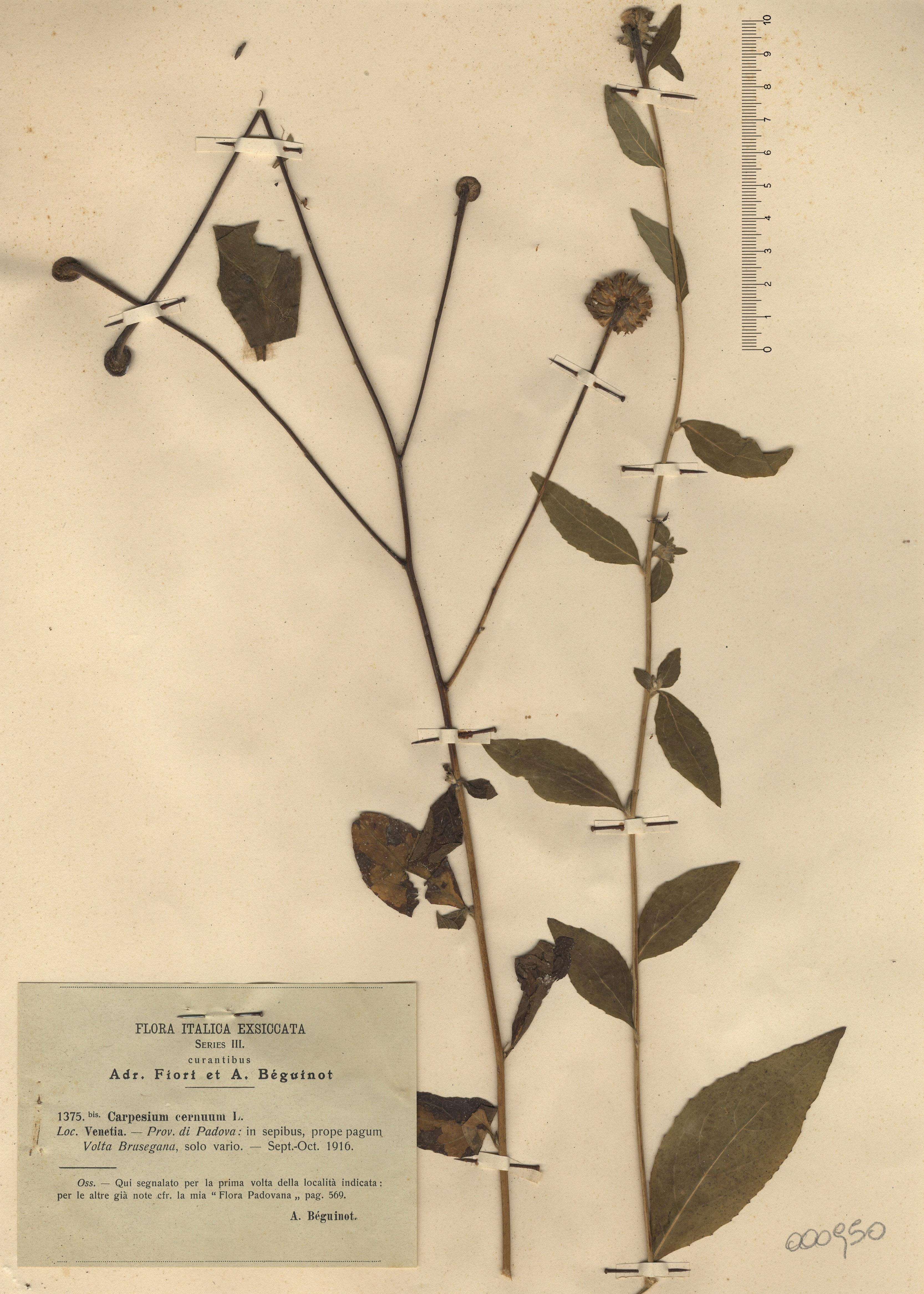 © Hortus Botanicus Catinensis - Herb. sheet 000950<br>