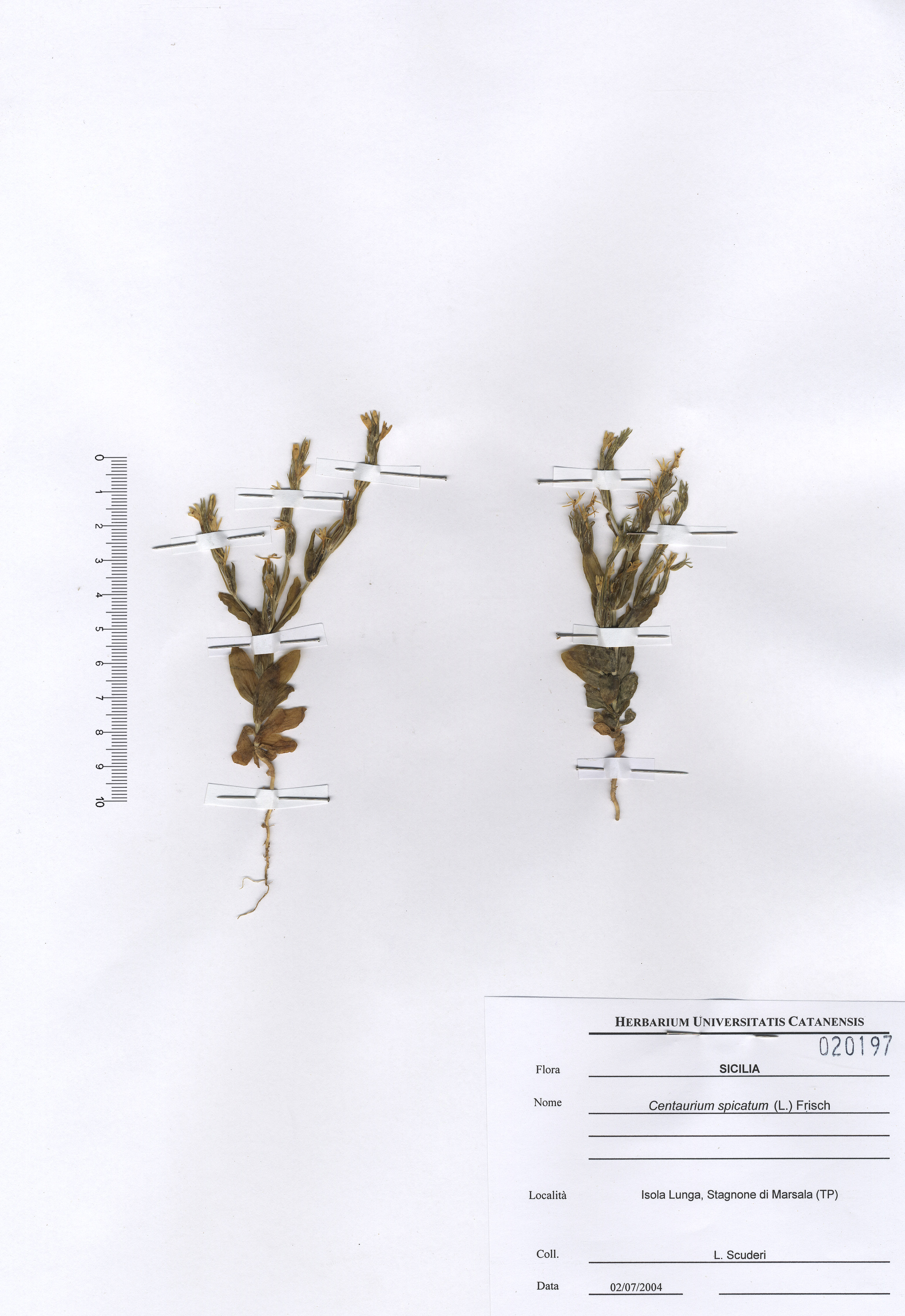 © Hortus Botanicus Catinensis - Herb.sheet 020197<br>