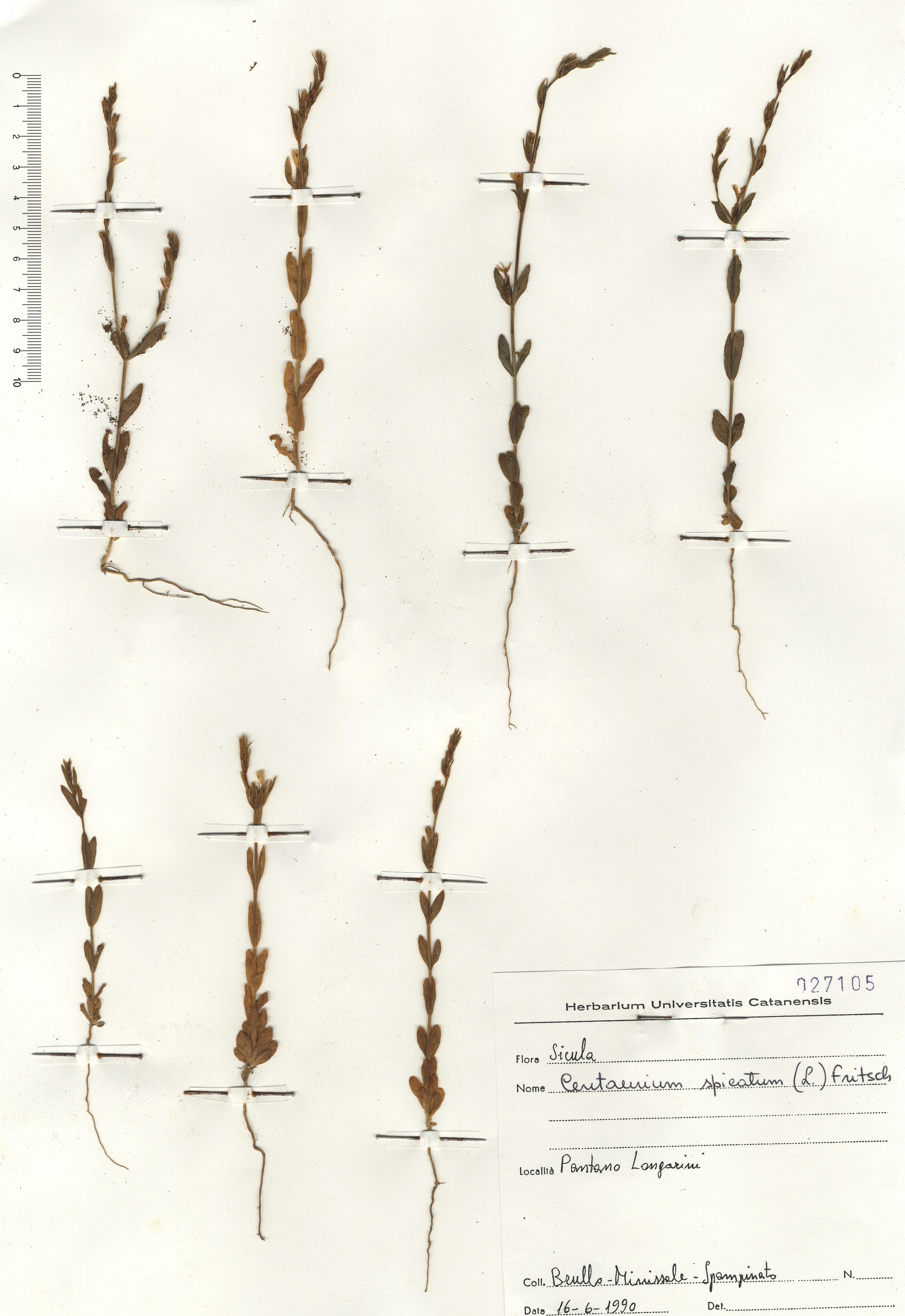 © Hortus Botanicus Catinensis - Herb.sheet 027105<br>