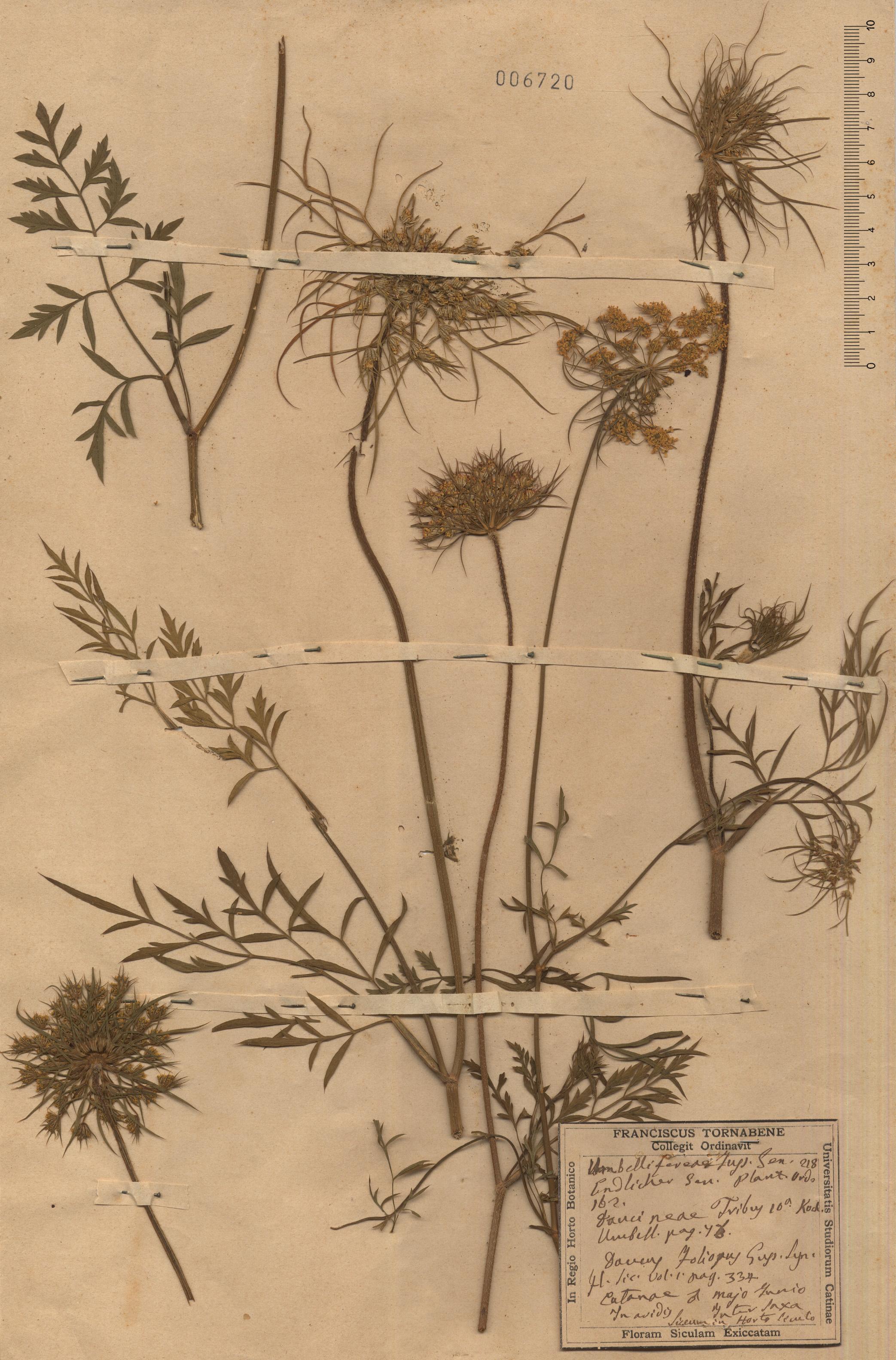 © Hortus Botanicus Catinensis - Herb.sheet 006720<br>
