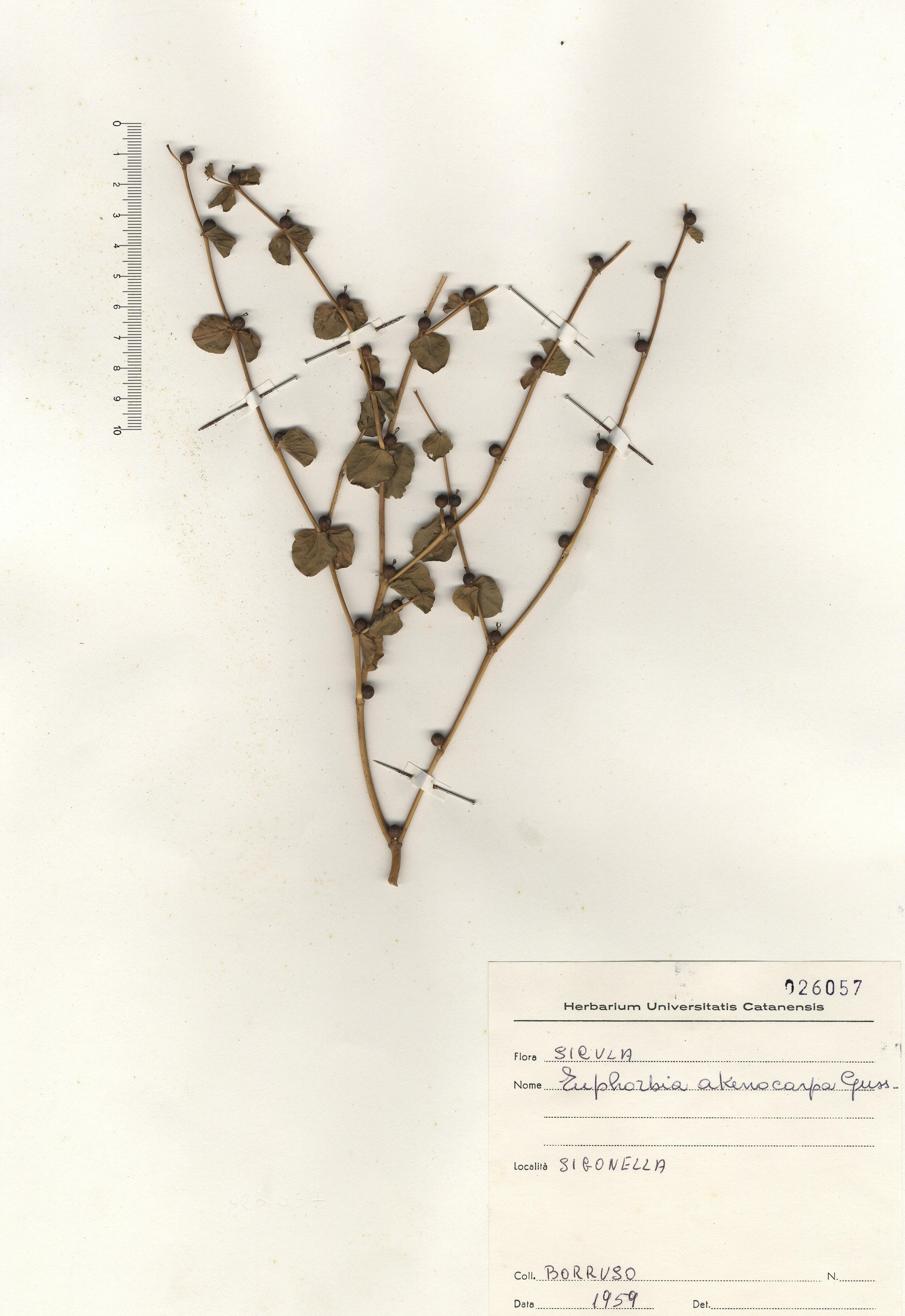 © Hortus Botanicus Catinensis - Herb.sheet 026057<br>