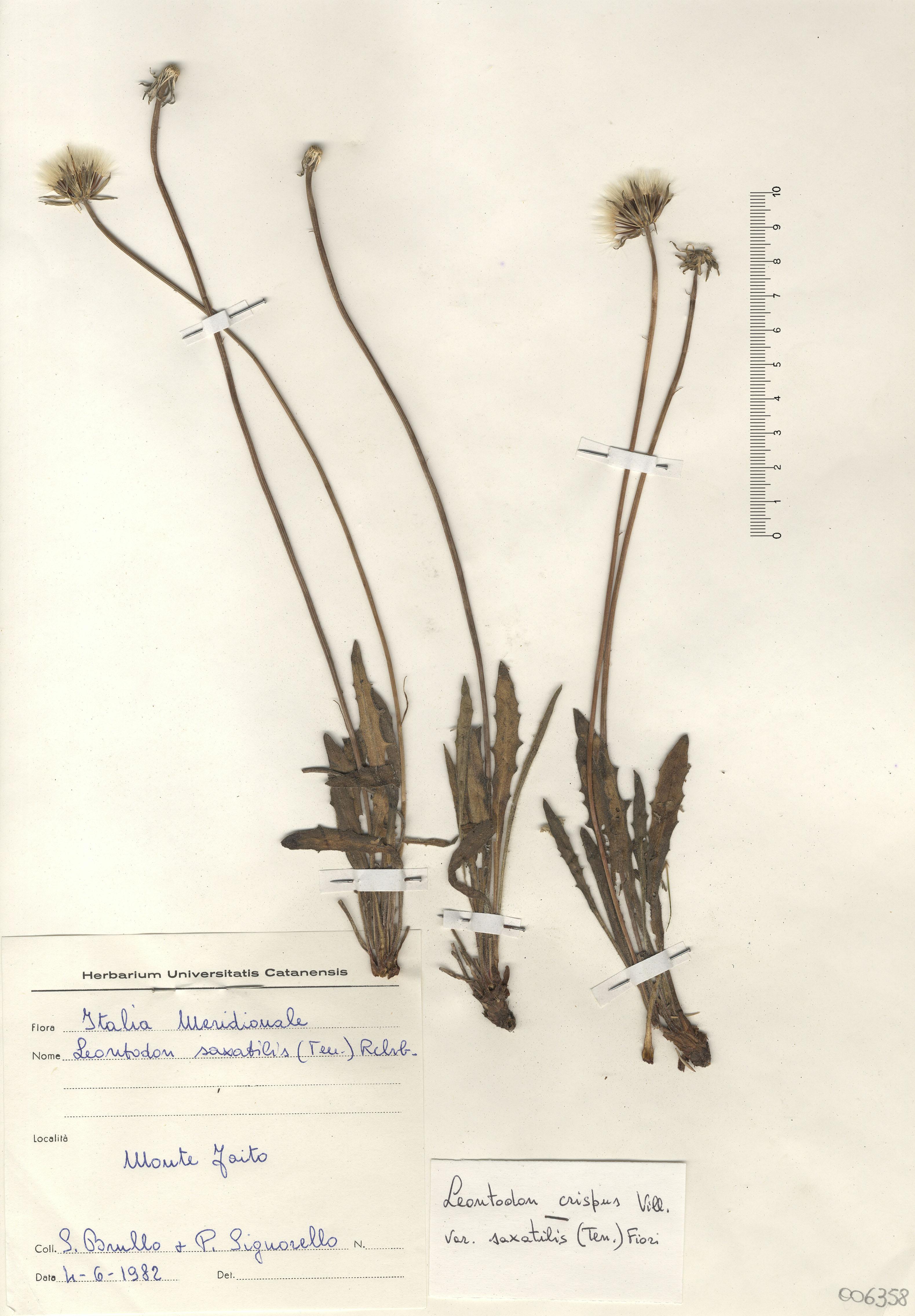 © Hortus Botanicus Catinensis - Herb.sheet 006358<br>