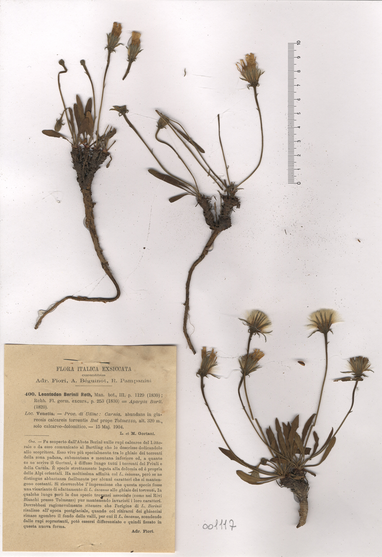 © Hortus Botanicus Catinensis - Herb.sheet 001117<br>