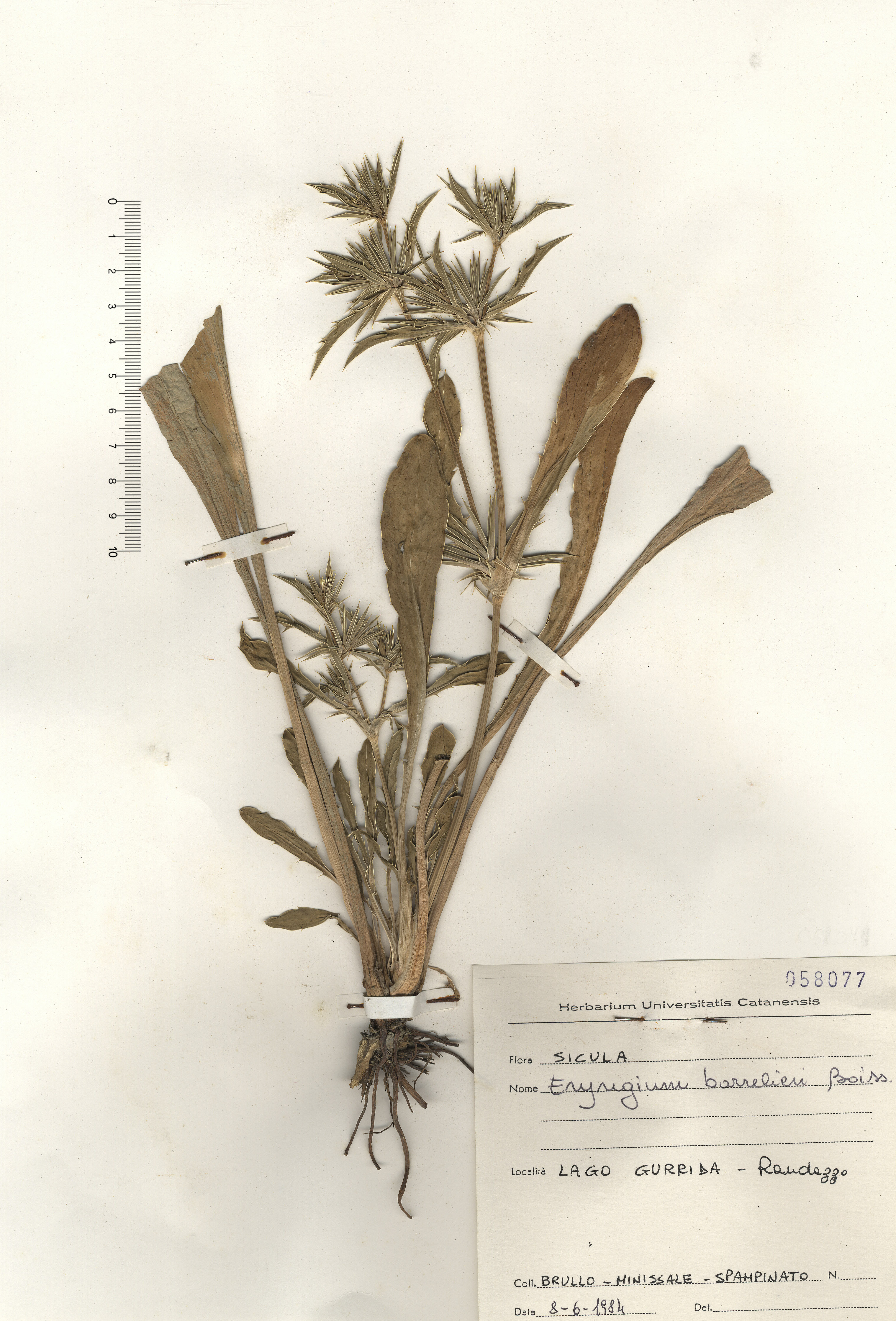 © Hortus Botanicus Catinensis - Herb. sheet 058077<br>