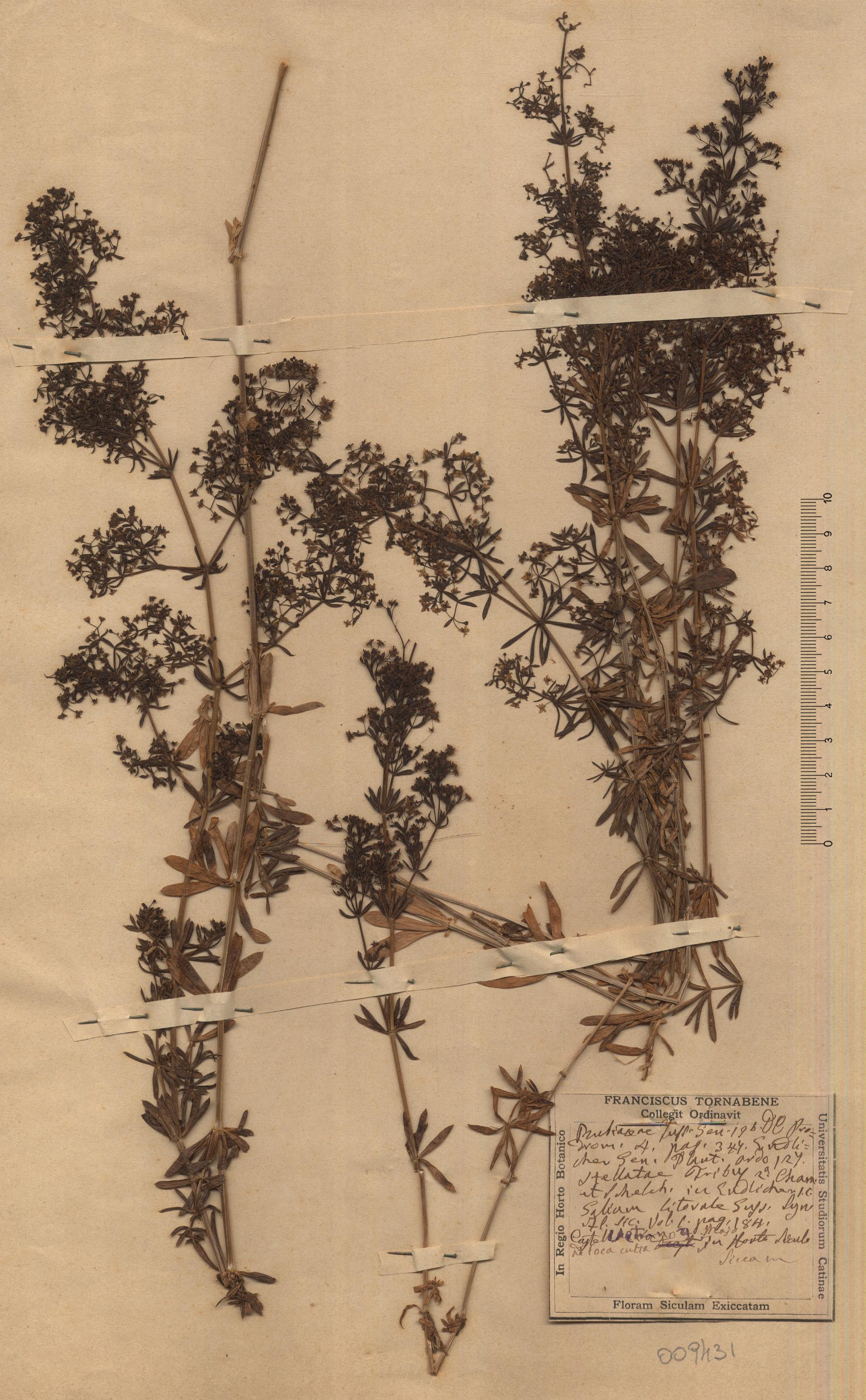 &copy; Hortus Botanicus Catinensis - Herb. sheet 049431<br>