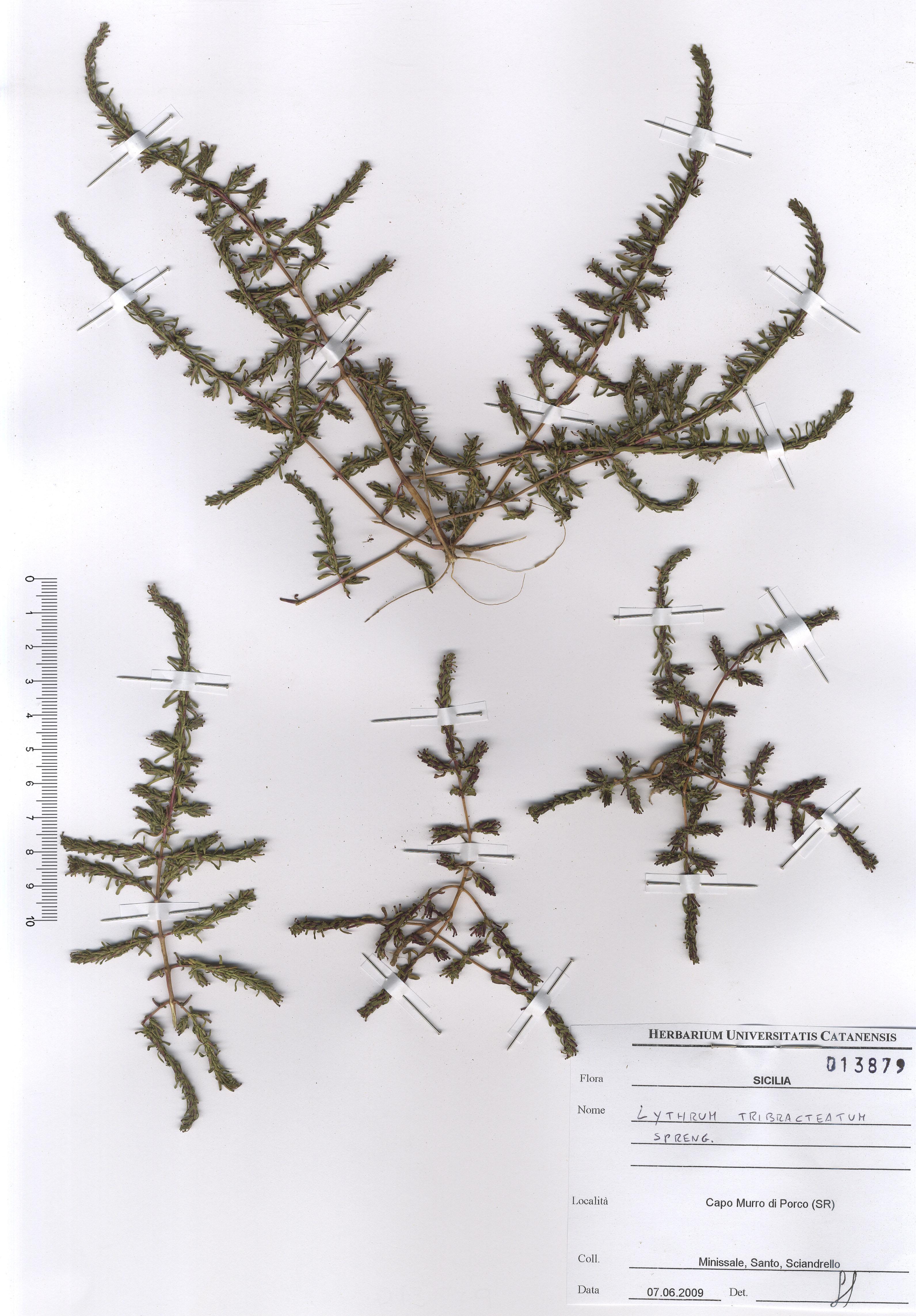 © Hortus Botanicus Catinensis - Herb. sheet 013879<br>