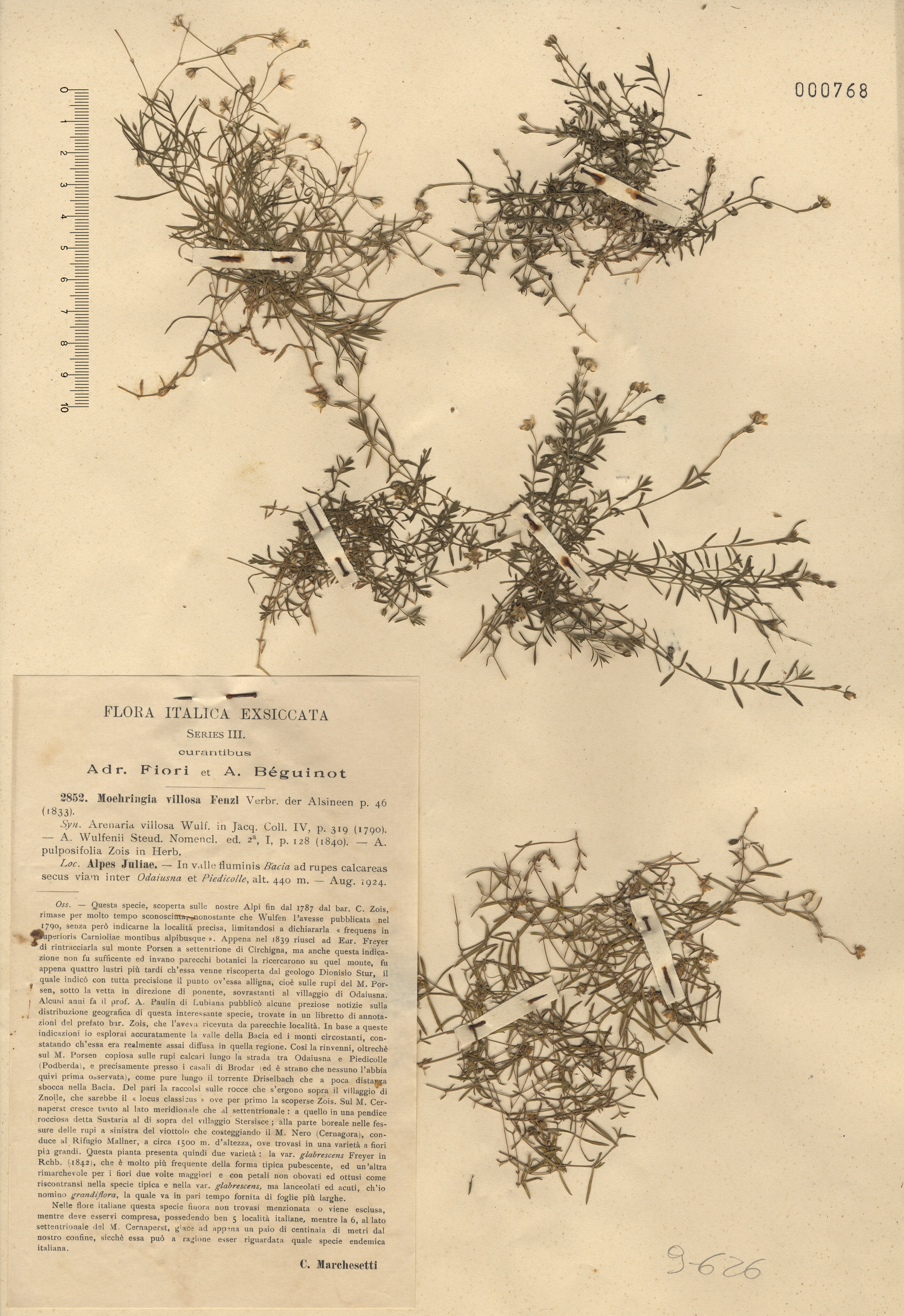 © Hortus Botanicus Catinensis - Herb. sheet 000768<br>