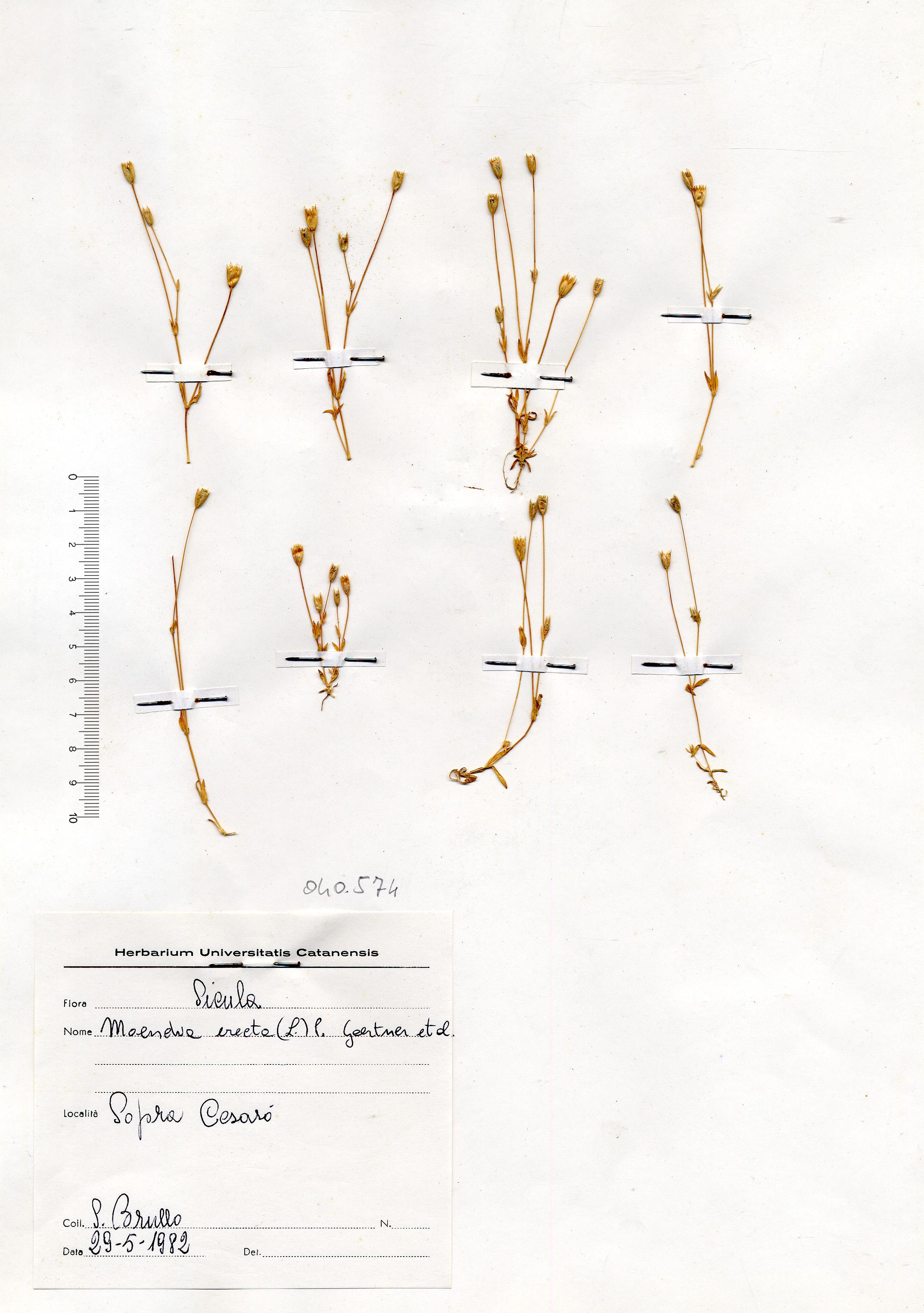 © Hortus Botanicus Catinensis - Herb. sheet 040574<br>