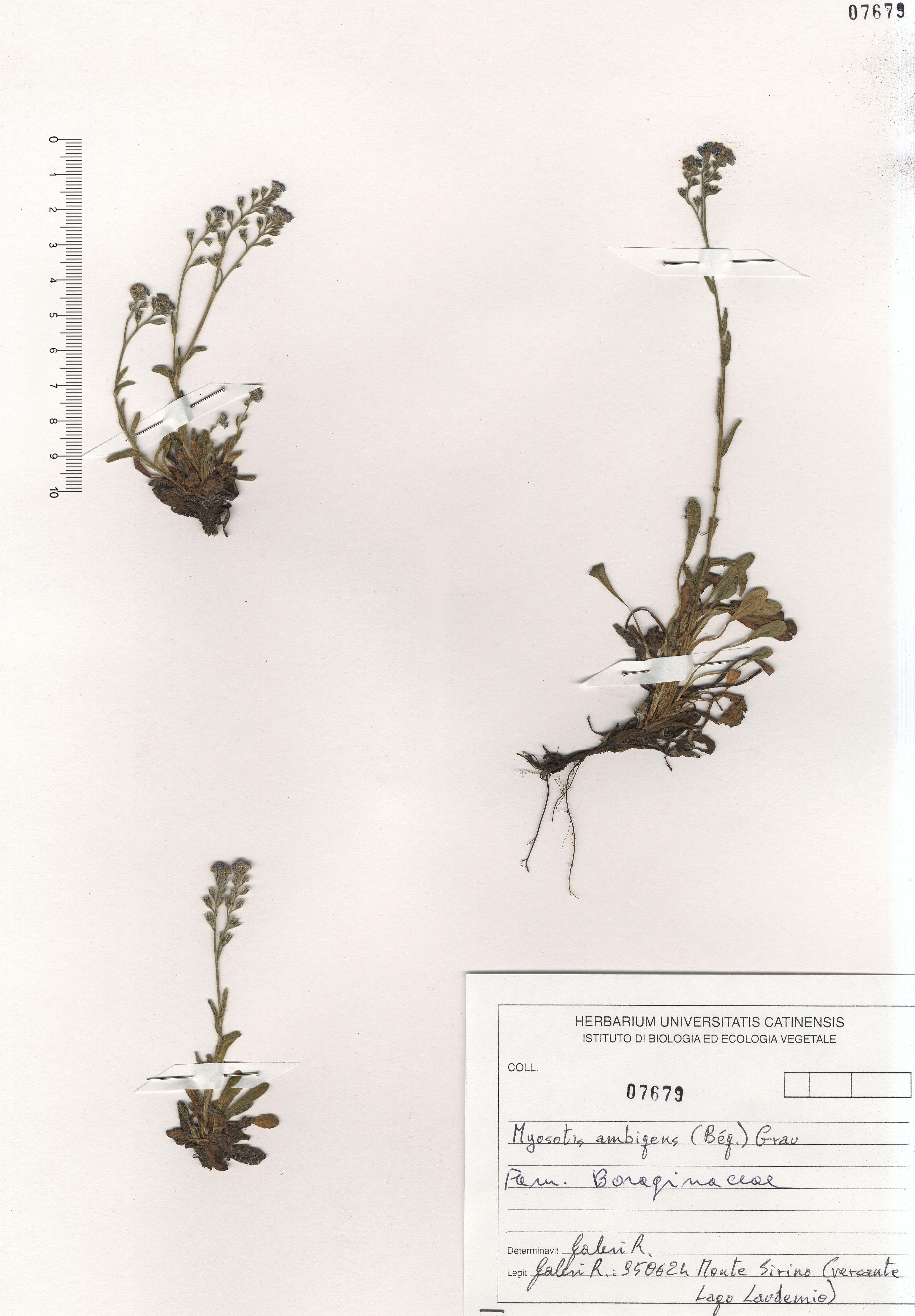 © Hortus Botanicus Catinensis - Herb. sheet 107679<br>