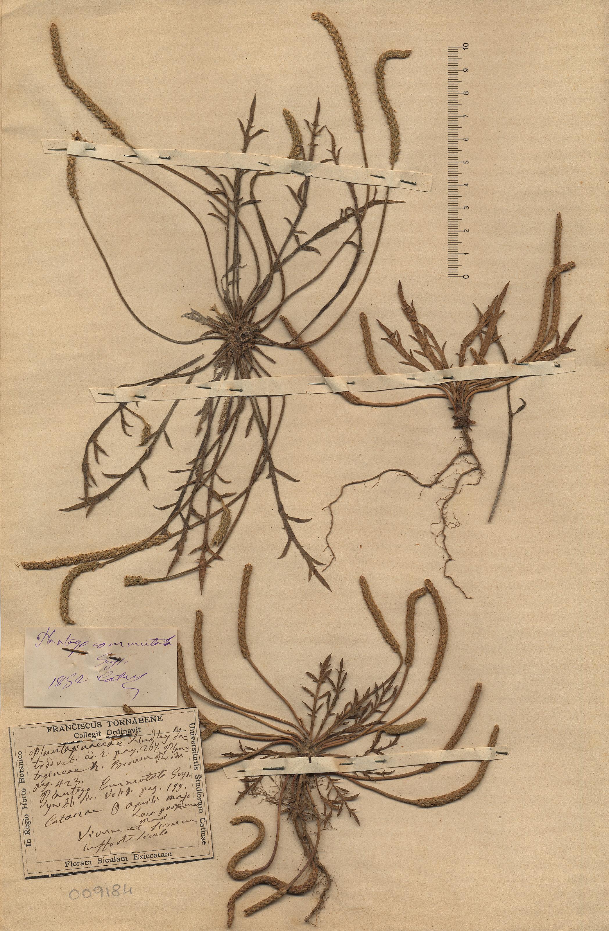© Hortus Botanicus Catinensis- Herb. sheet 009184<br>