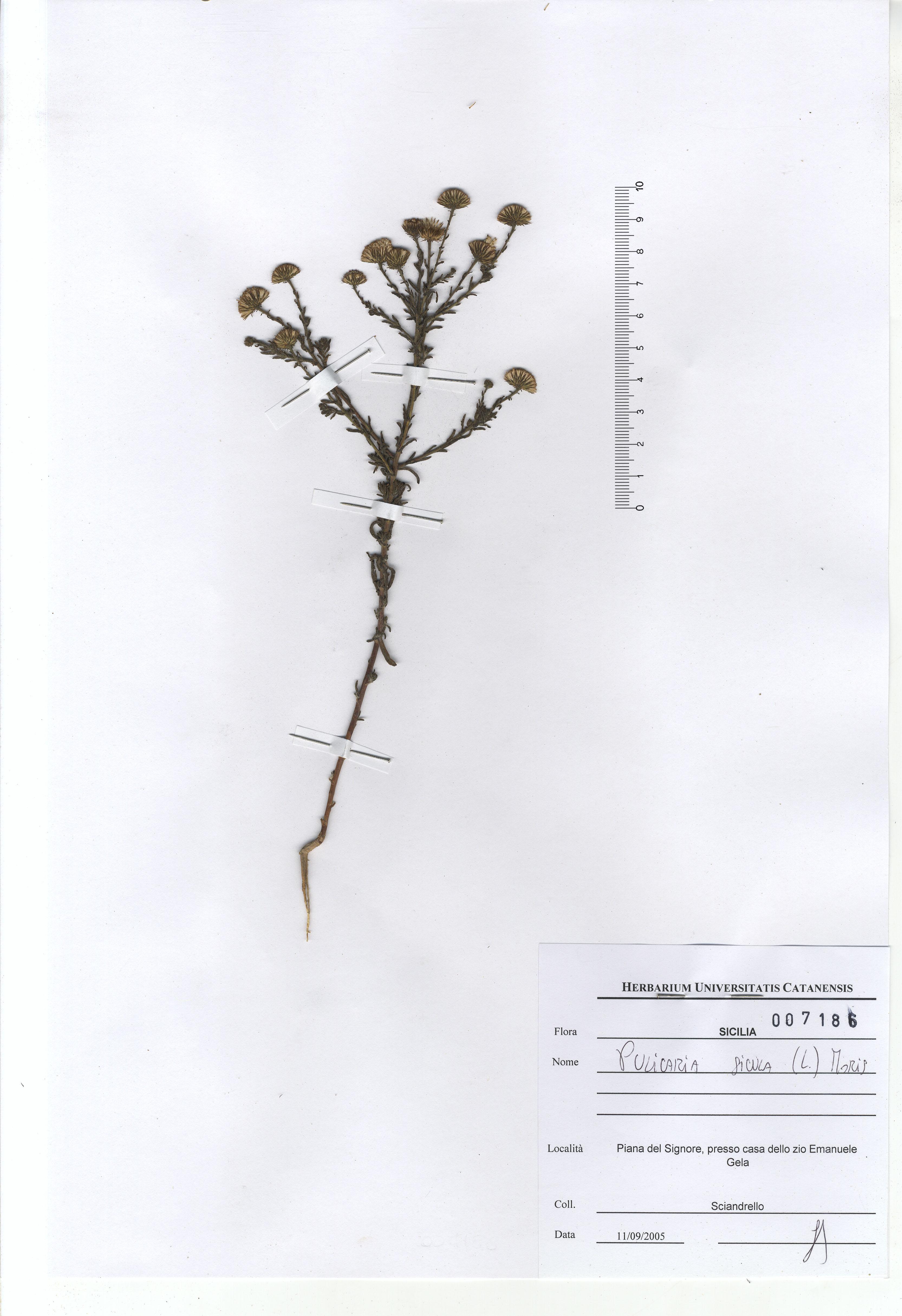 © Hortus Botanicus Catinensis - Herb. sheet 007186<br>