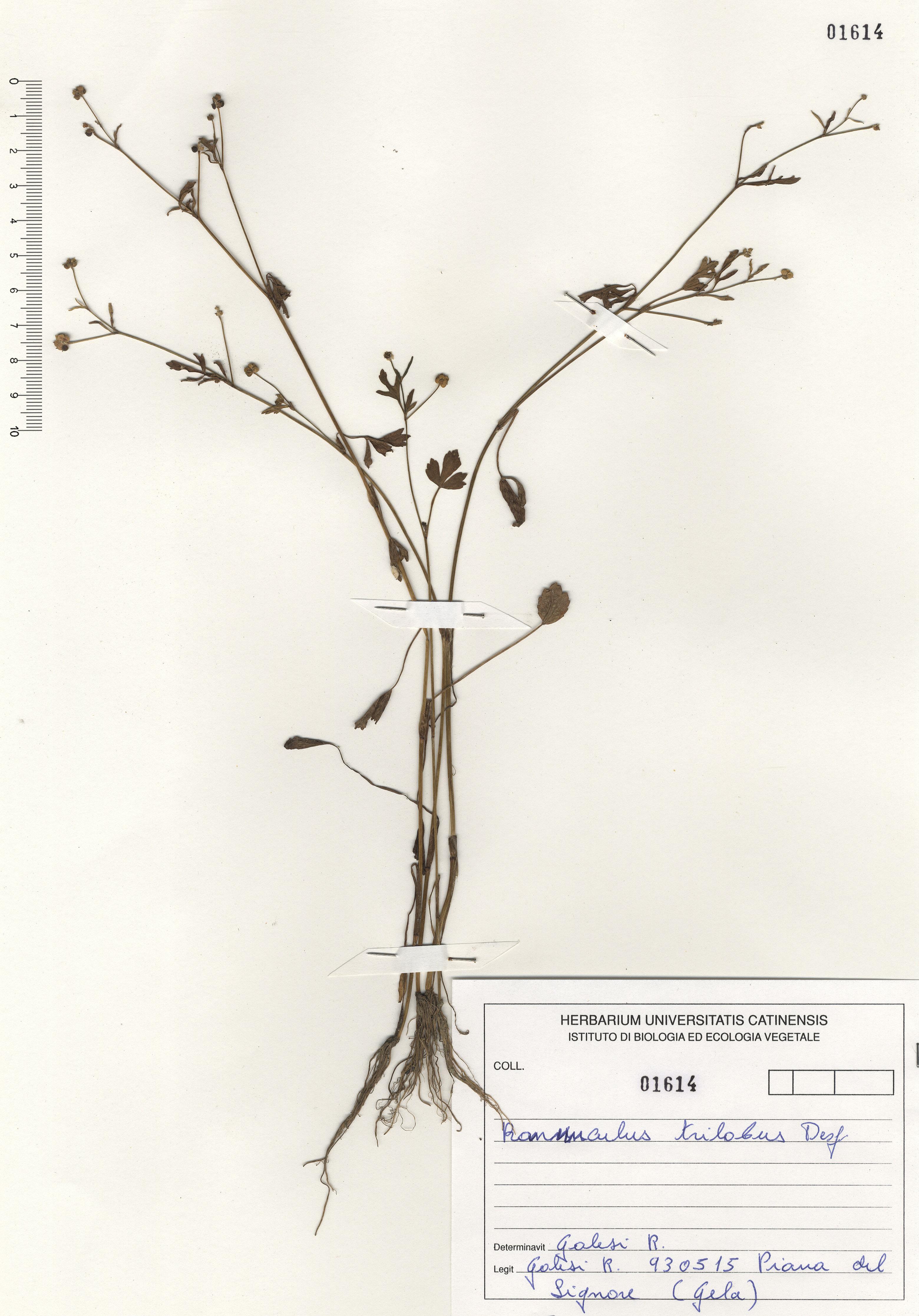 © Hortus Botanicus Catinensis - Herb. sheet 101614<br>
