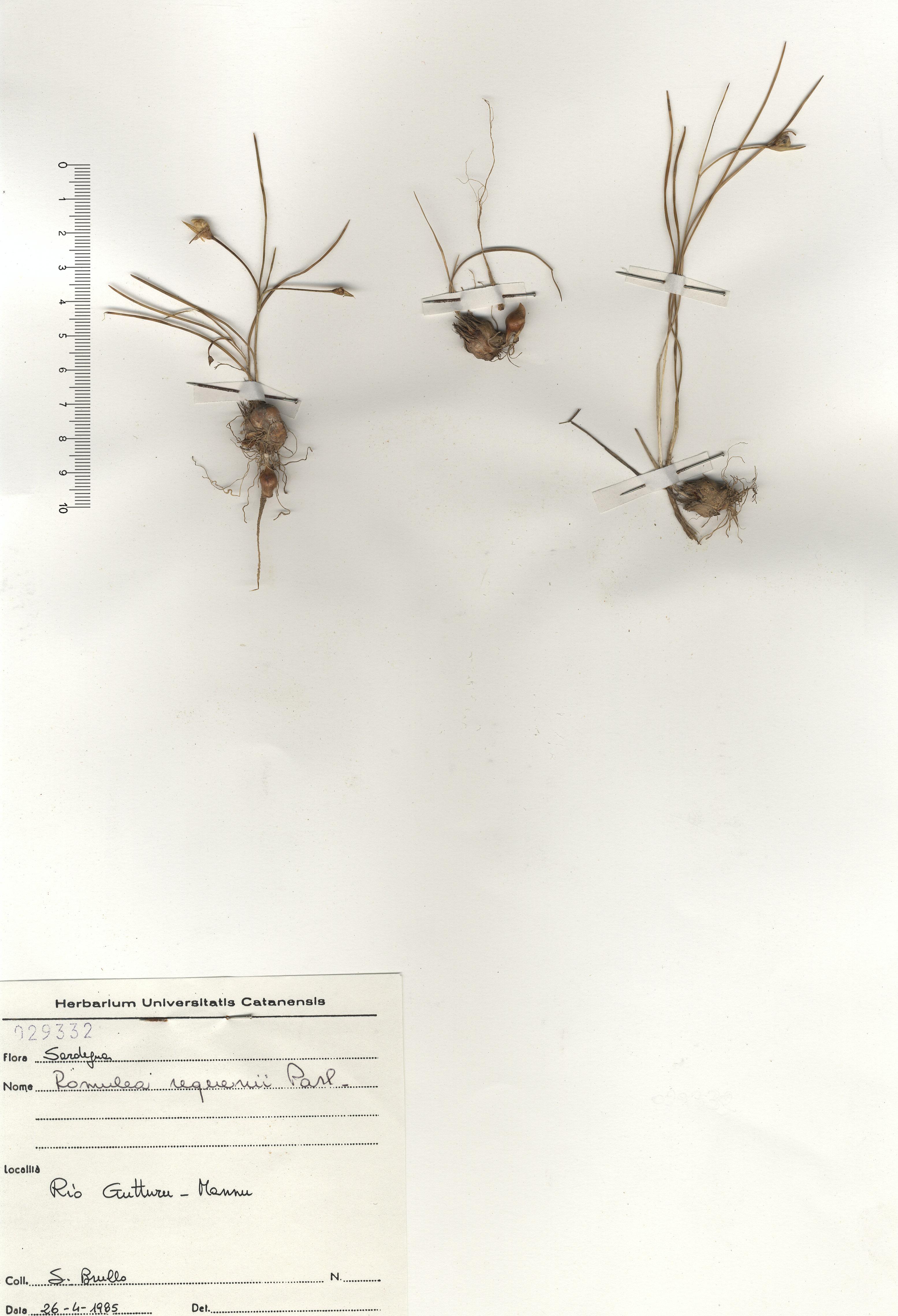 © Hortus Botanicus Catinensis - Herb. sheet 029332<br>