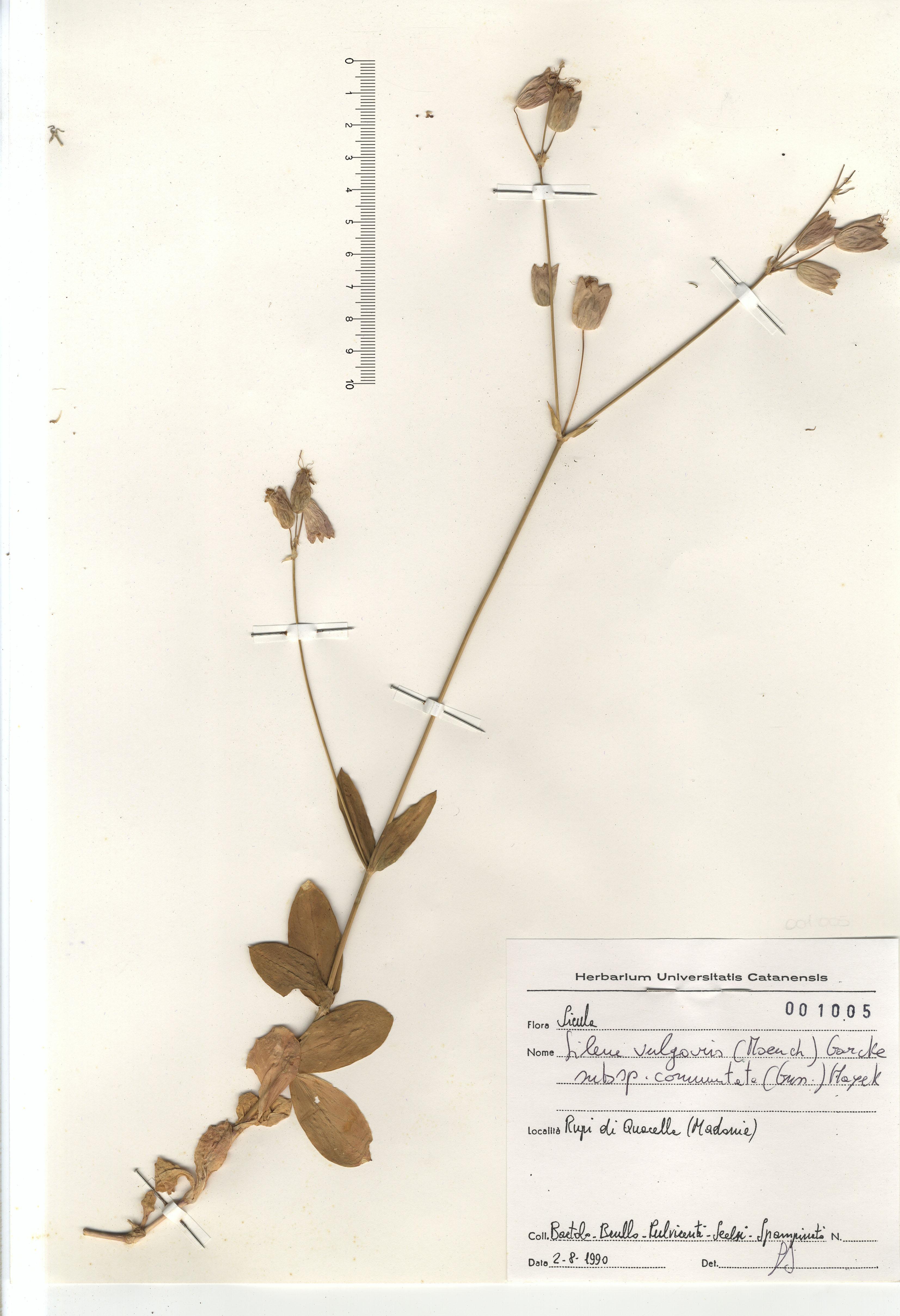 © Hortus Botanicus Catinensis - Herb. sheet 001005<br>