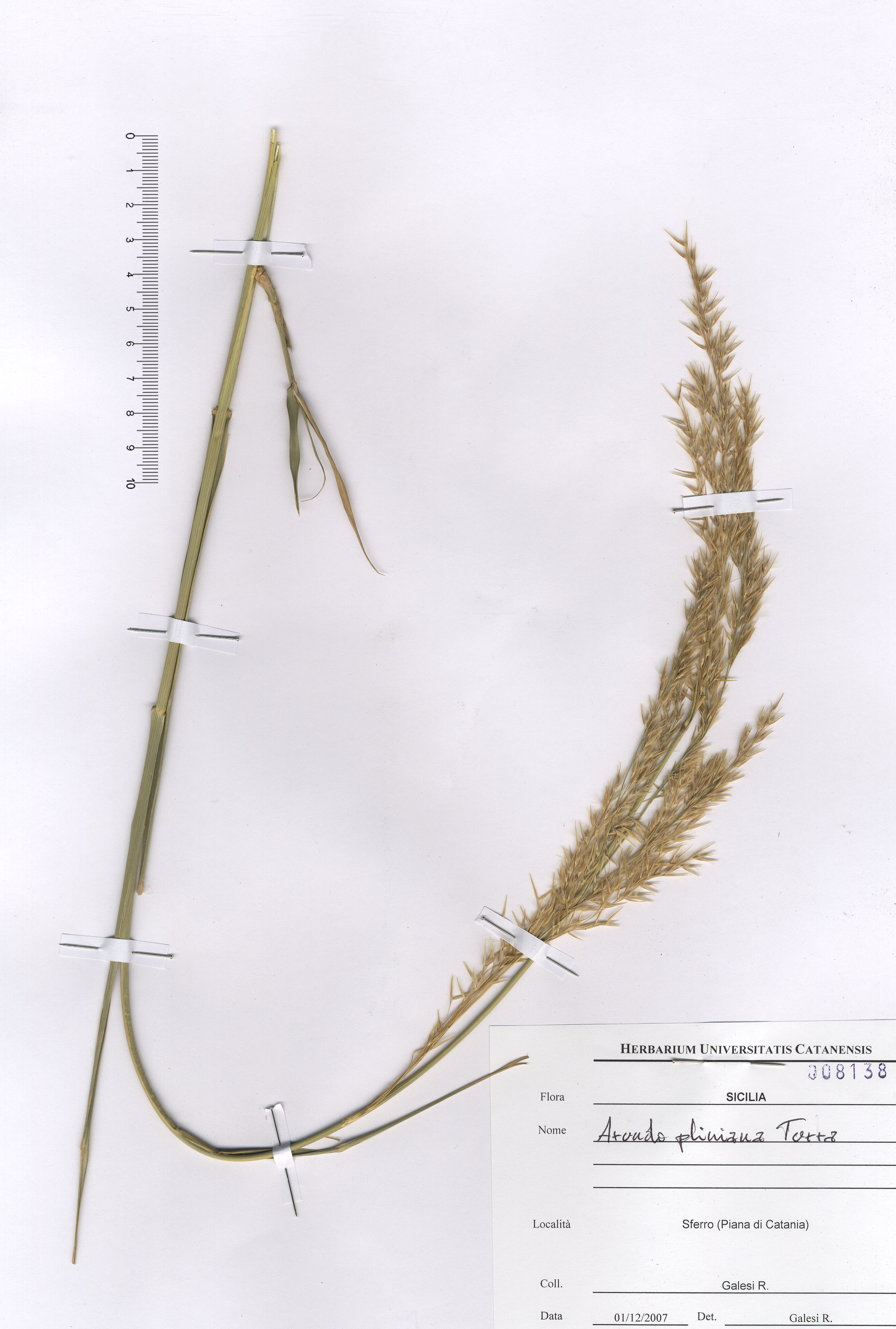 © Hortus Botanicus Catinensis - Herb. sheet 008138<br>