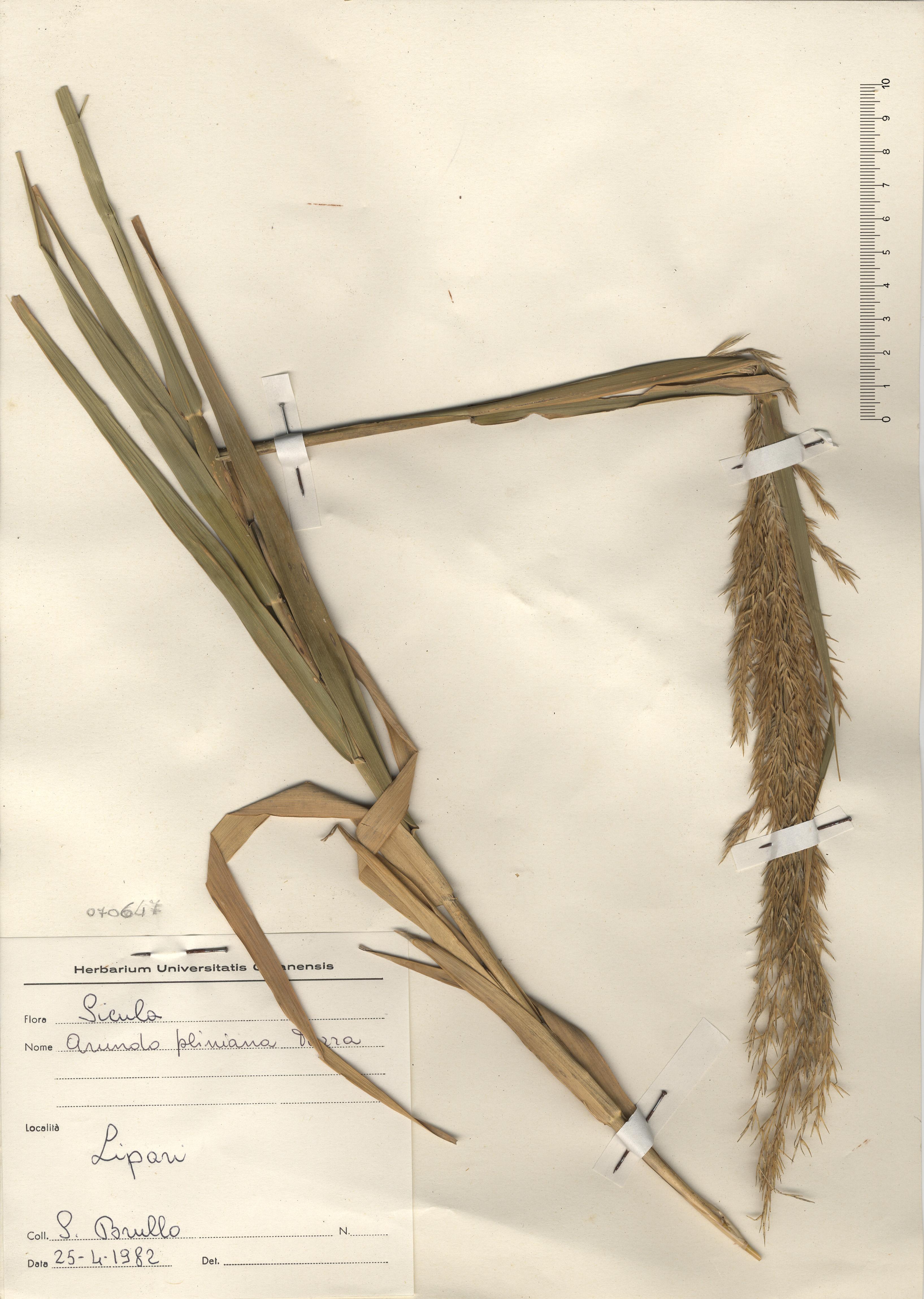 © Hortus Botanicus Catinensis - Herb. sheet 070647<br>