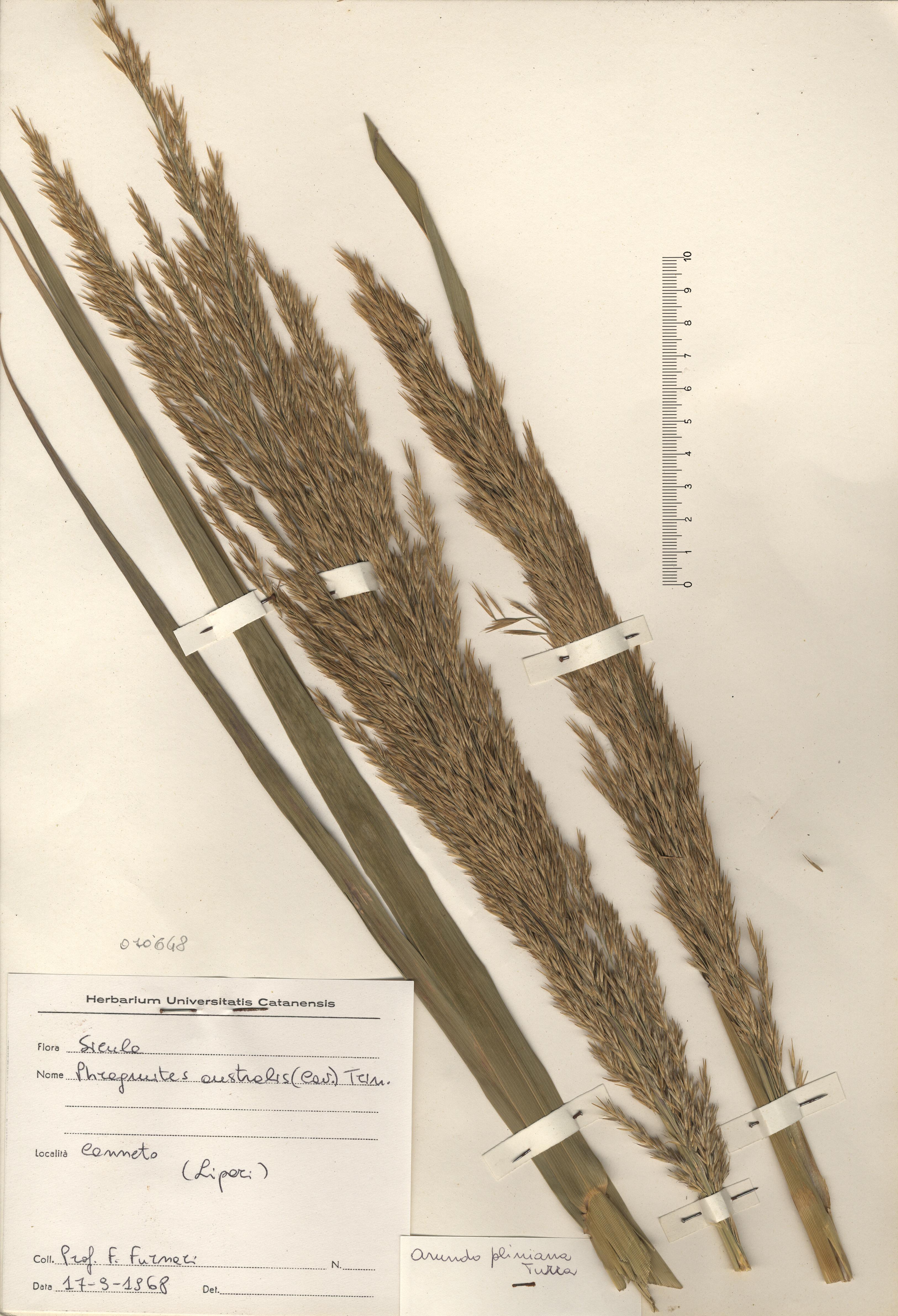 © Hortus Botanicus Catinensis - Herb. sheet 070648<br>