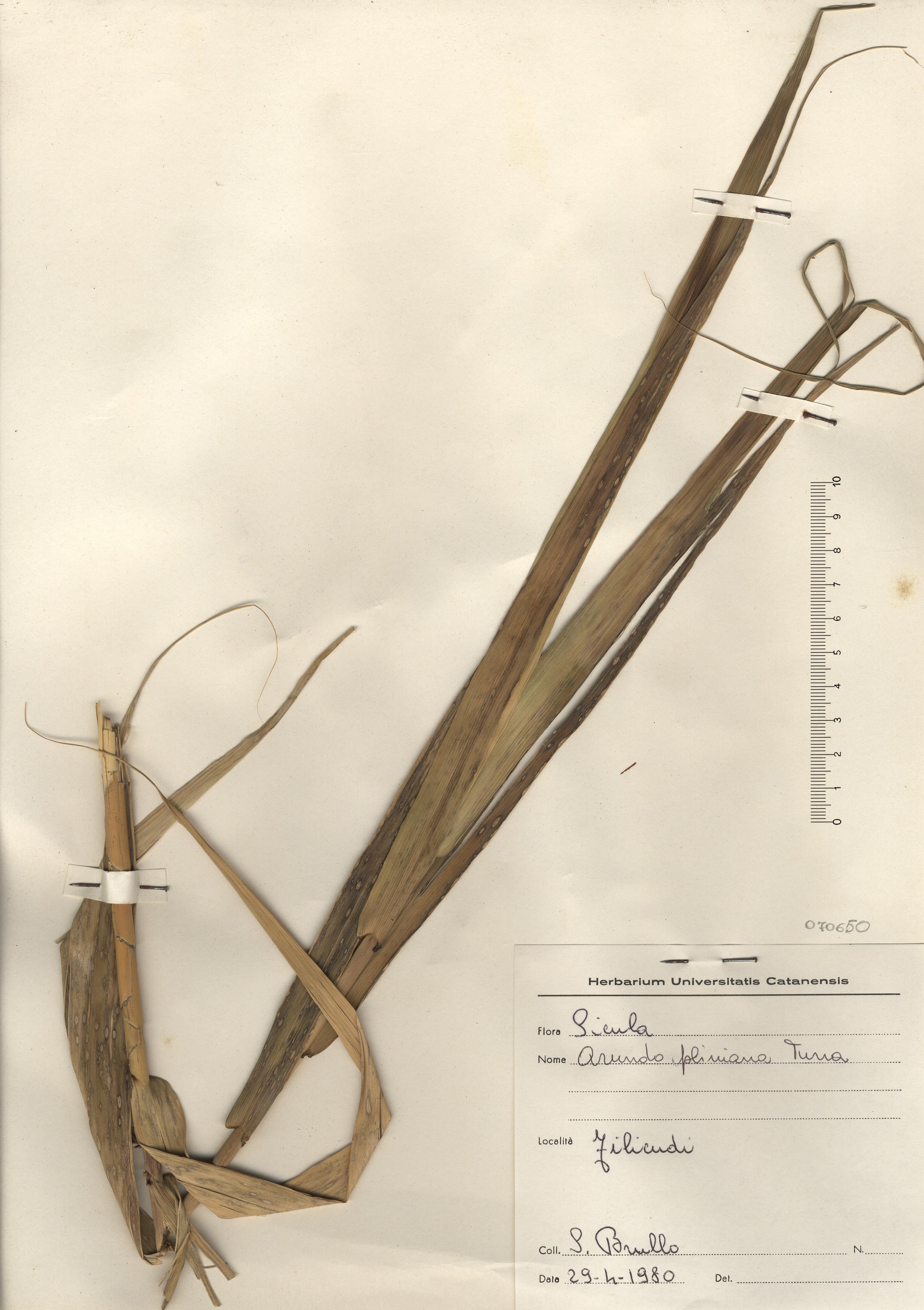 © Hortus Botanicus Catinensis - Herb. sheet 070650<br>
