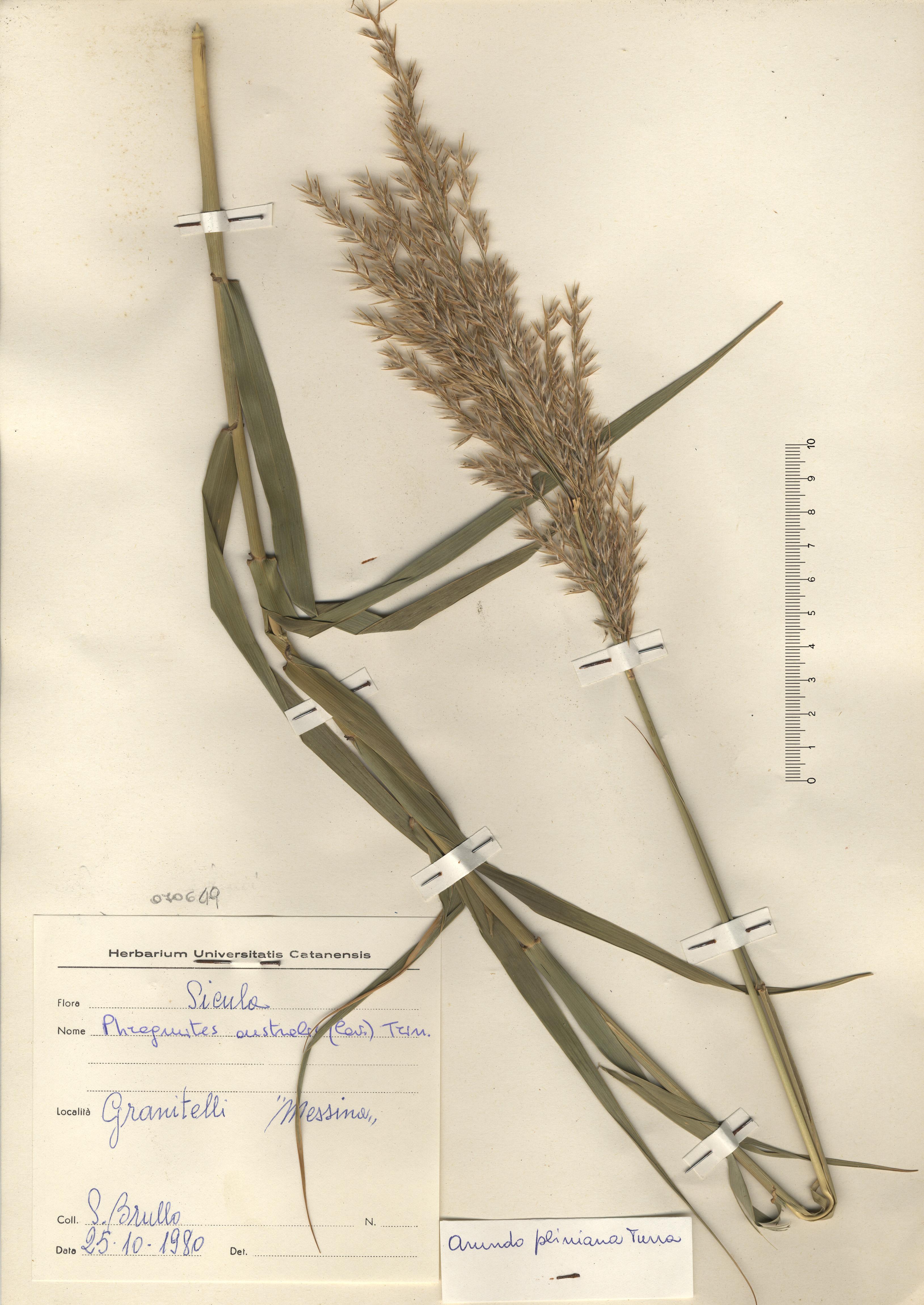 © Hortus Botanicus Catinensis - Herb. sheet 070649<br>