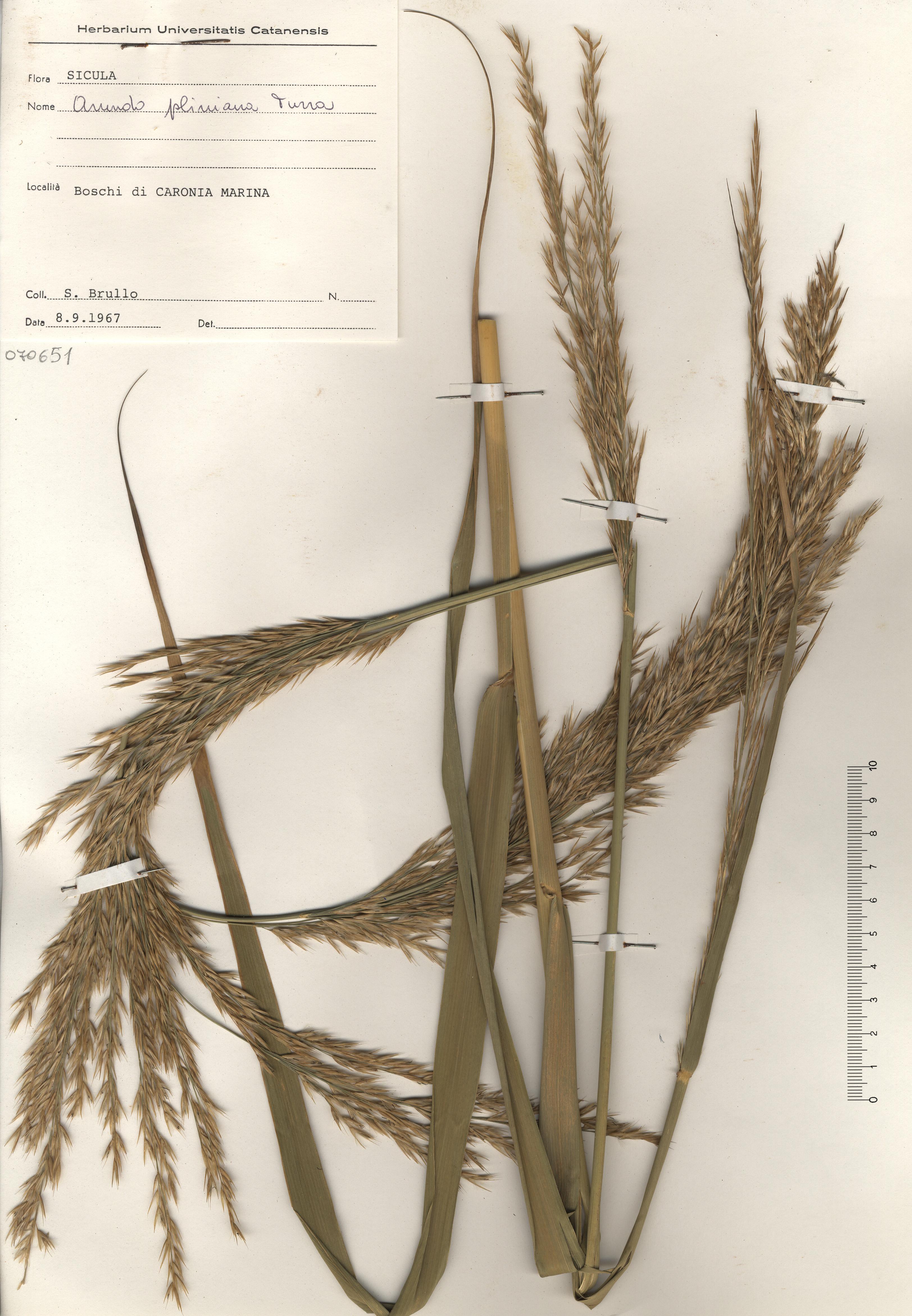© Hortus Botanicus Catinensis - Herb. sheet 070651<br>