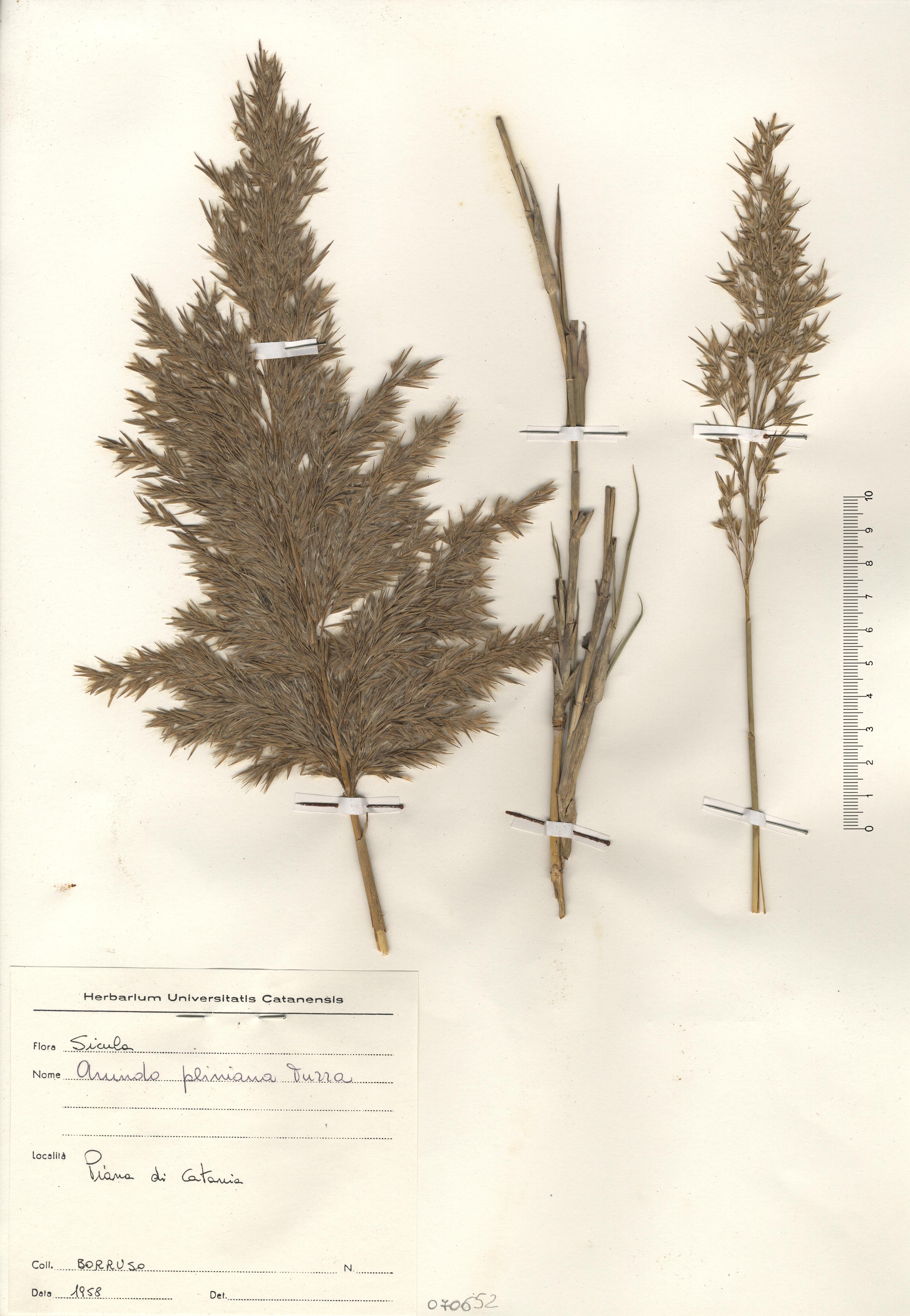 © Hortus Botanicus Catinensis - Herb. sheet 070652<br>