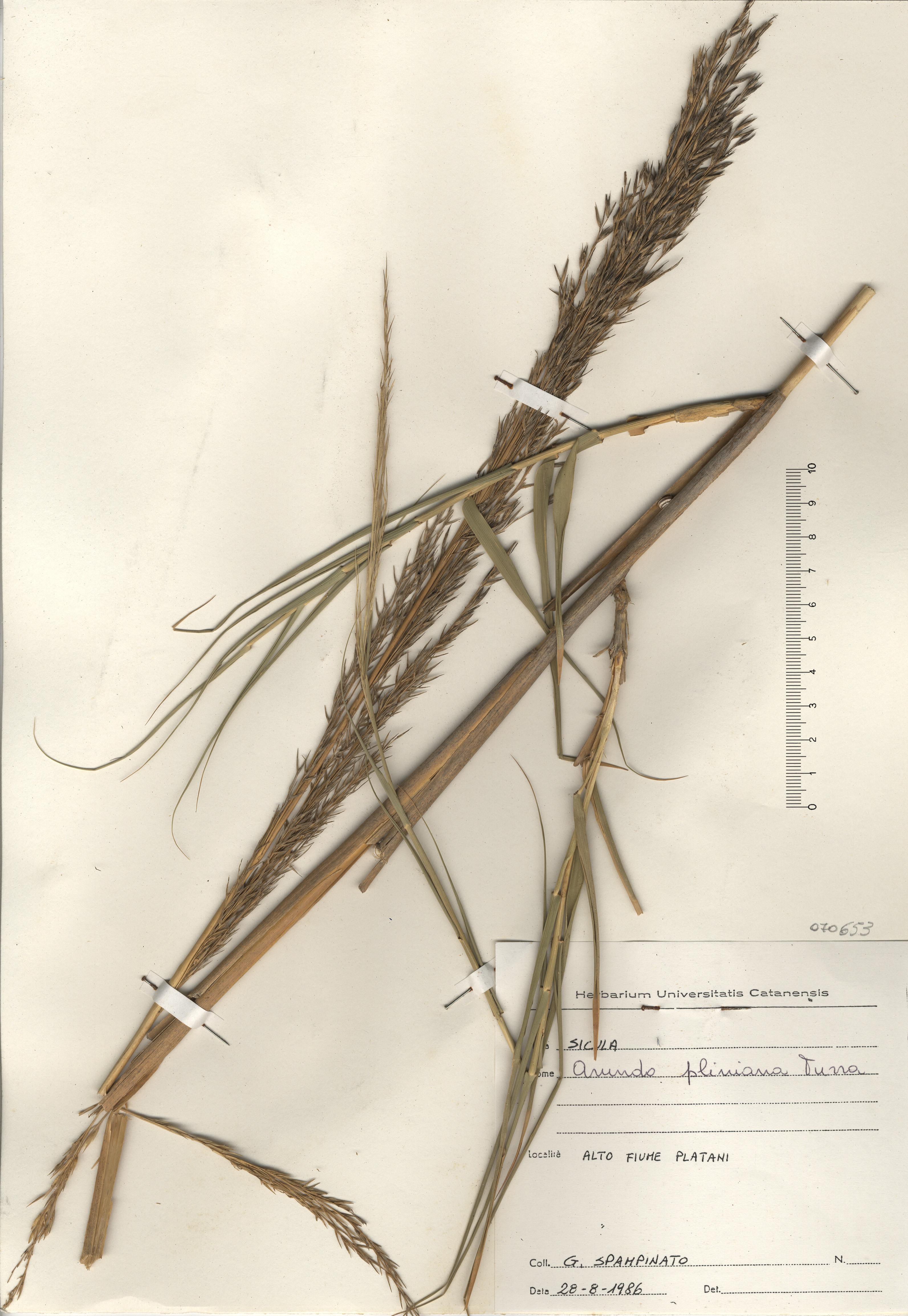 © Hortus Botanicus Catinensis - Herb. sheet 070653<br>