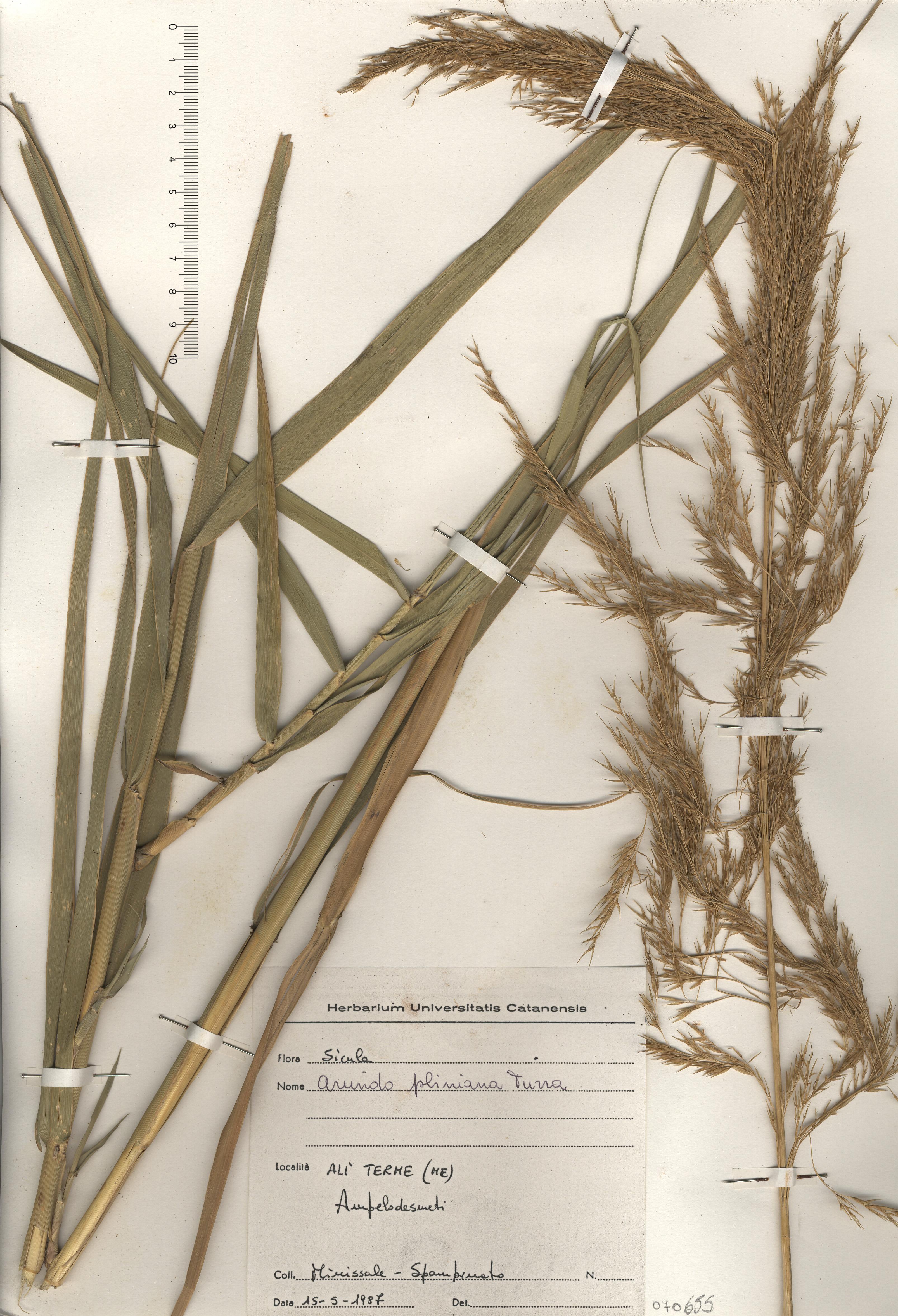 © Hortus Botanicus Catinensis - Herb. sheet 070655<br>