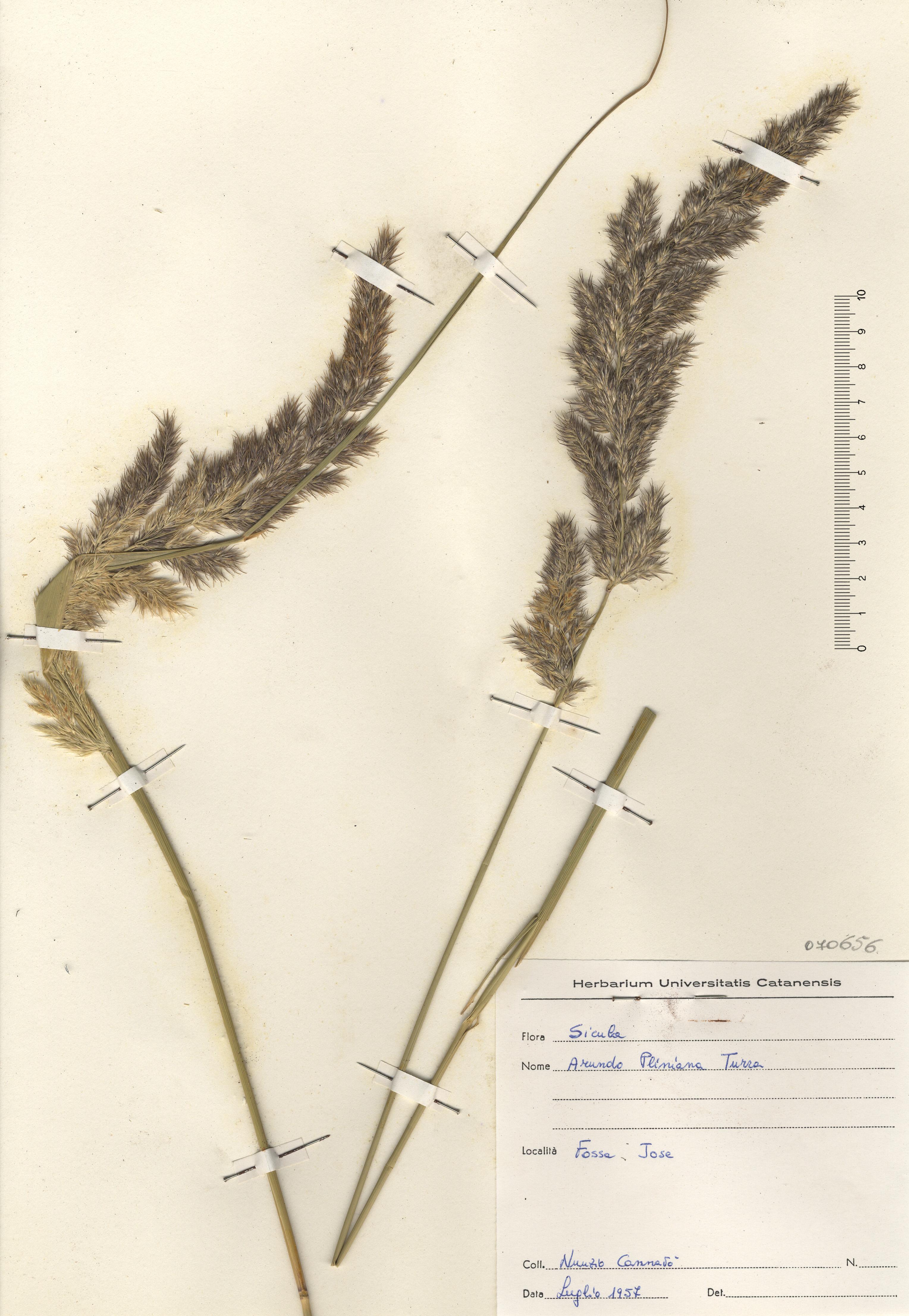 © Hortus Botanicus Catinensis - Herb. sheet 070656<br>
