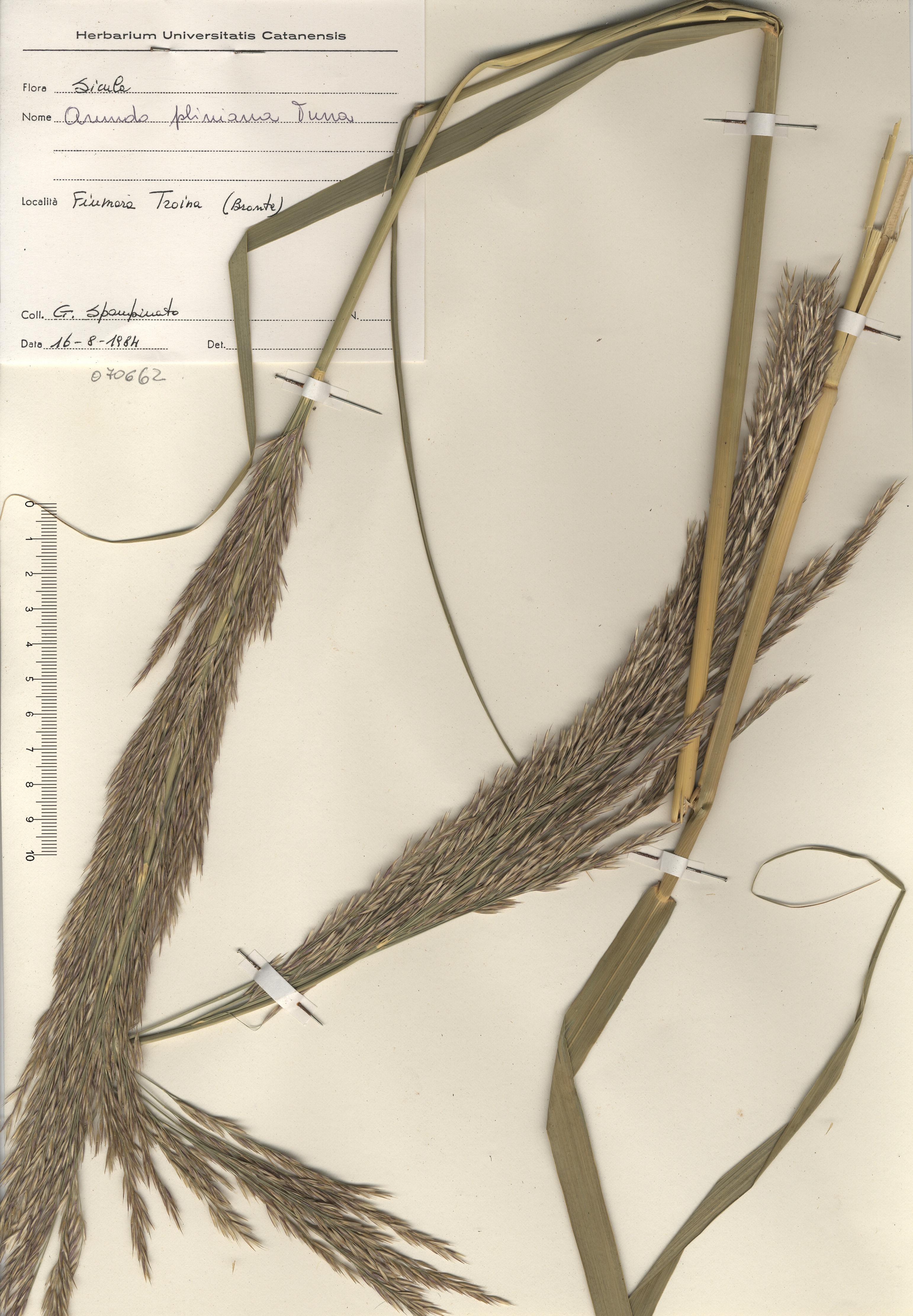 © Hortus Botanicus Catinensis - Herb. sheet 070662<br>
