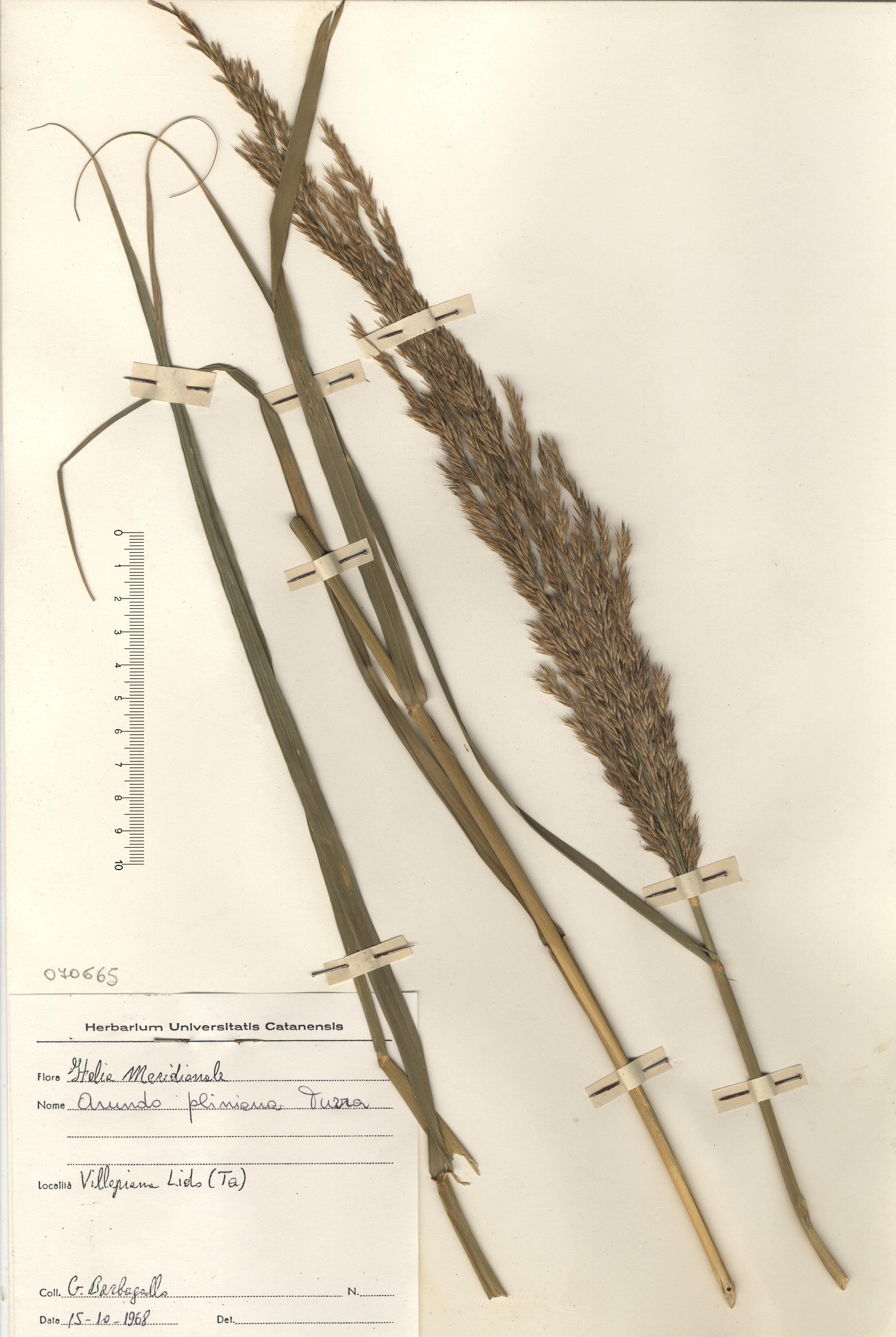 © Hortus Botanicus Catinensis - Herb. sheet 070665<br>