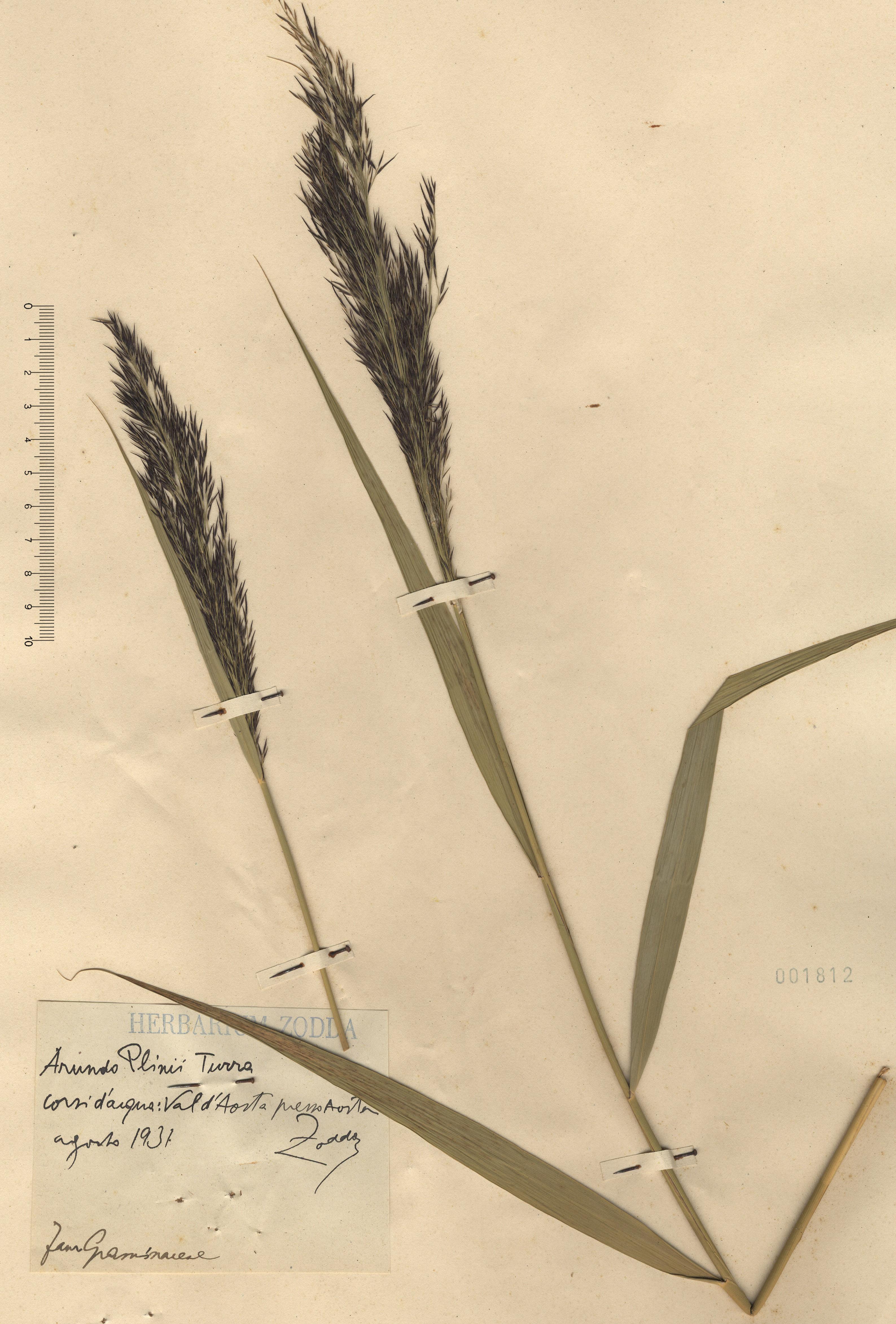 © Hortus Botanicus Catinensis - Herb. sheet 001812<br>
