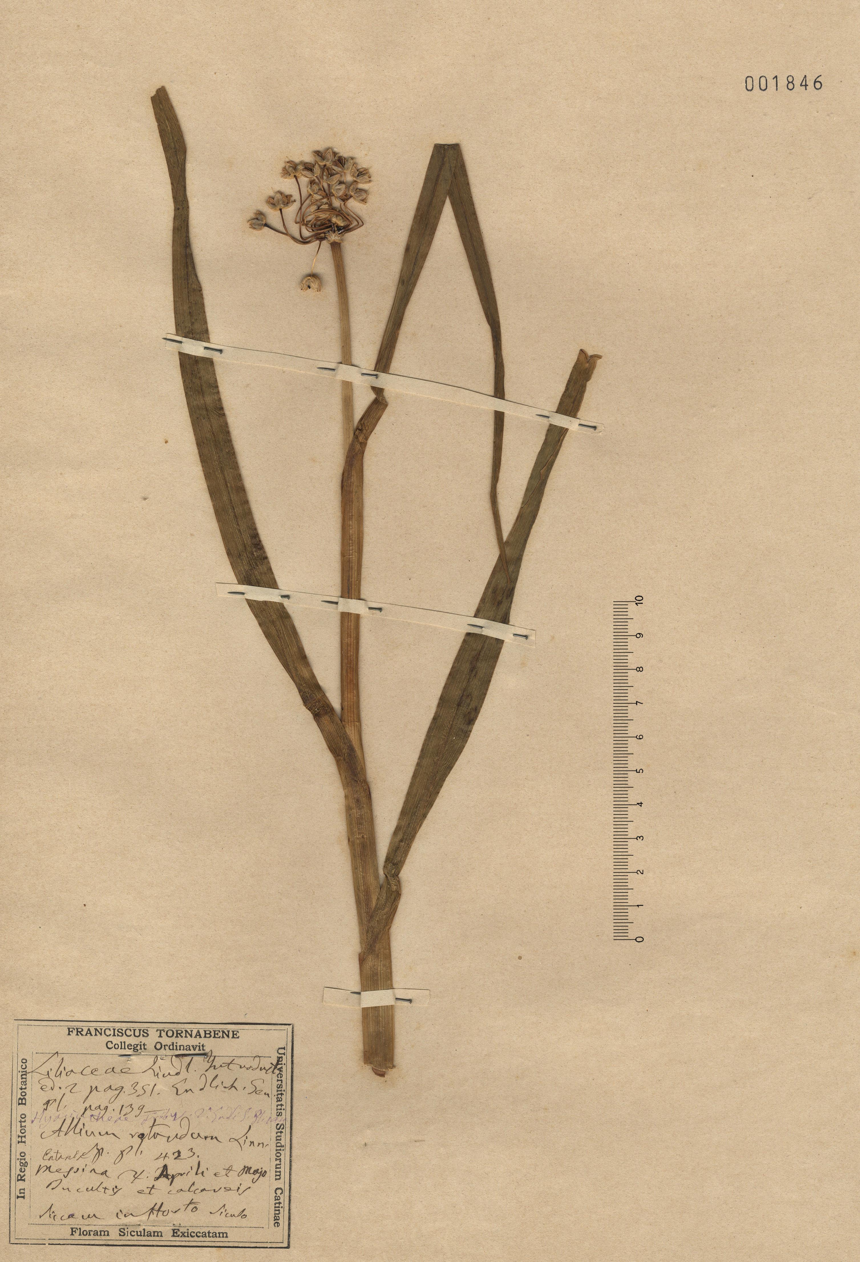 © Hortus Botanicus Catinensis - Herb. sheet 001846<br>