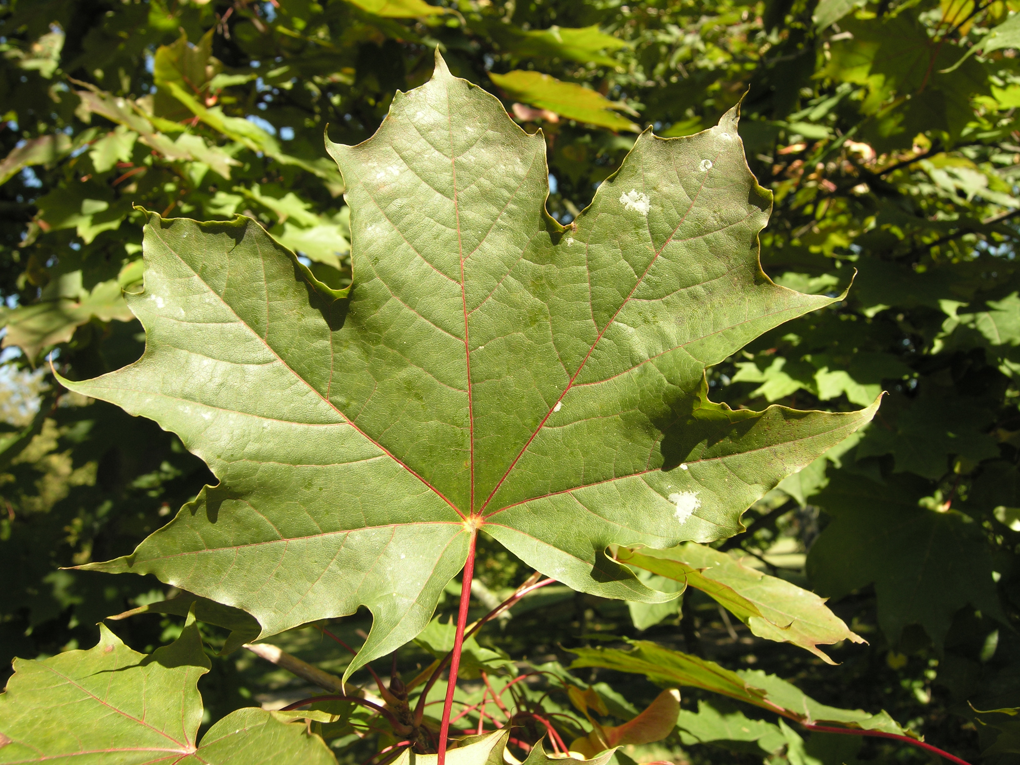 Acer platanoides l 39 schwedleri 39 - Arce platanoide ...